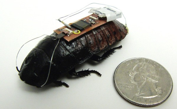 A cockroach equipped with remote control technology.