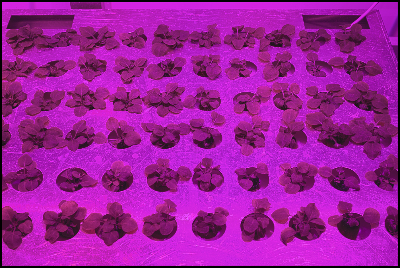 Caliber can produce an antibody-infused tobacco plant in just weeks.