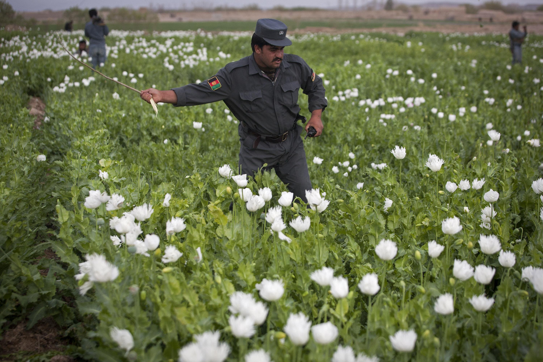 Afghan Police Destroy Opium Farm