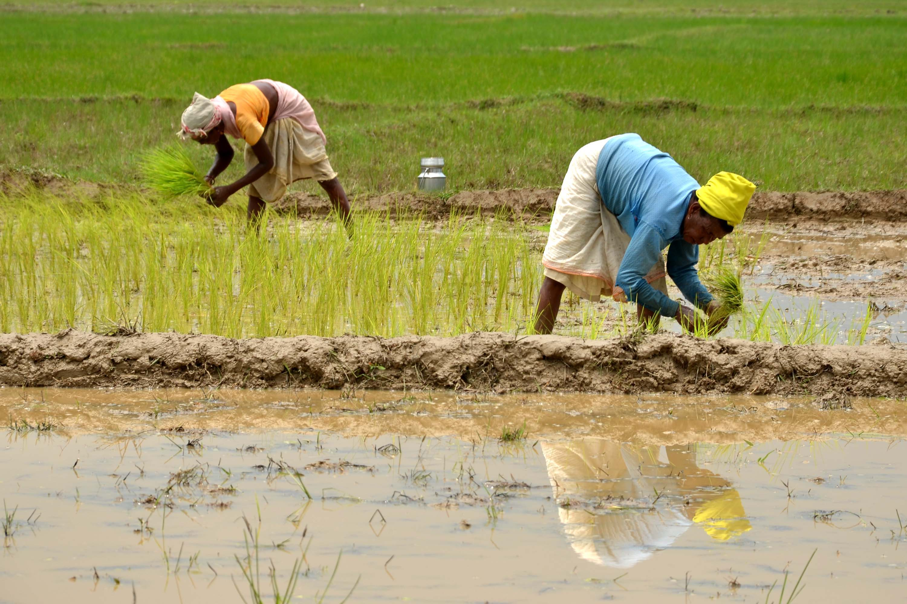 Indian villagers plant rice seedlings in a paddy field at