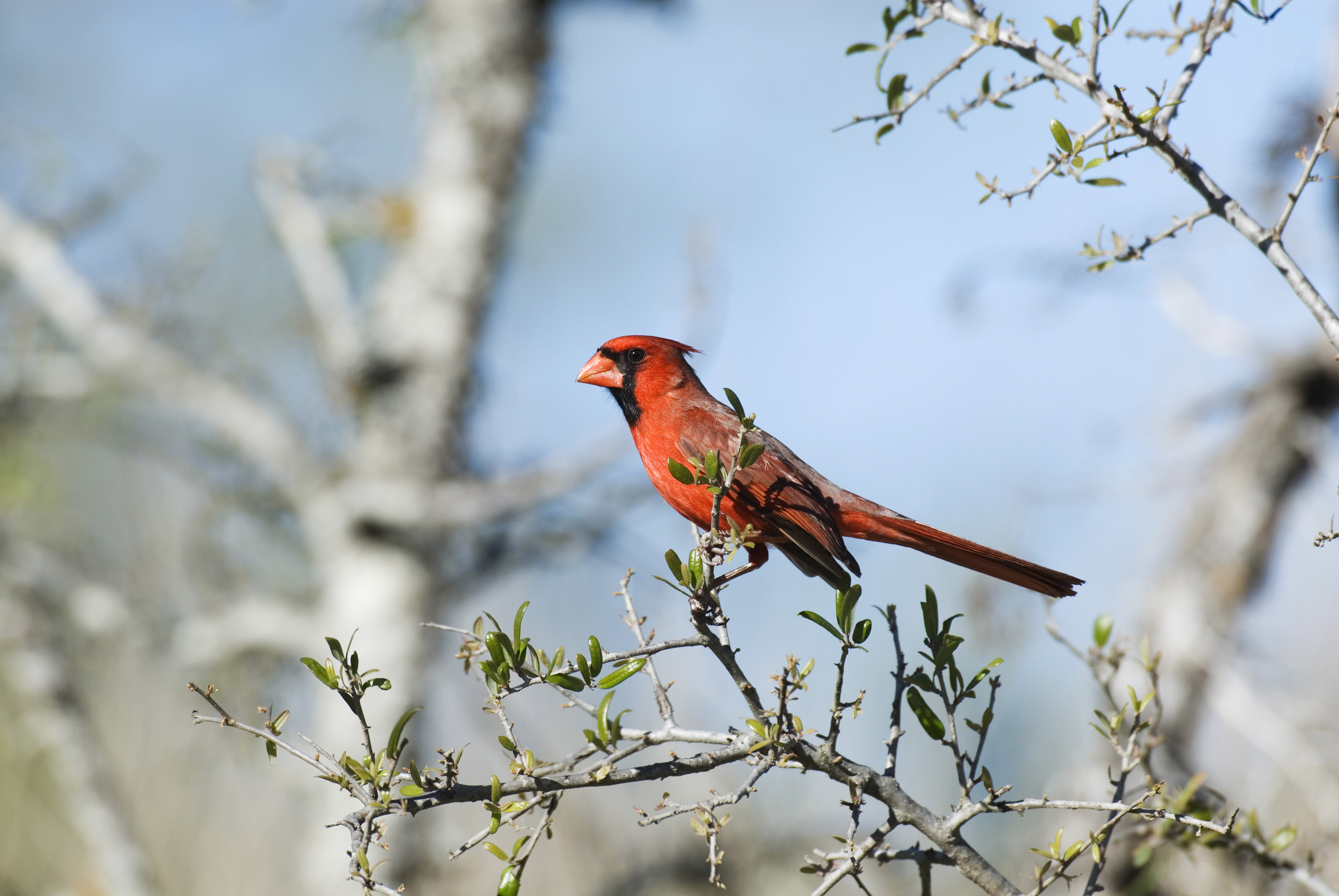 USA, Texas, Hill Country Near Hunt, Northern Cardinal, Male