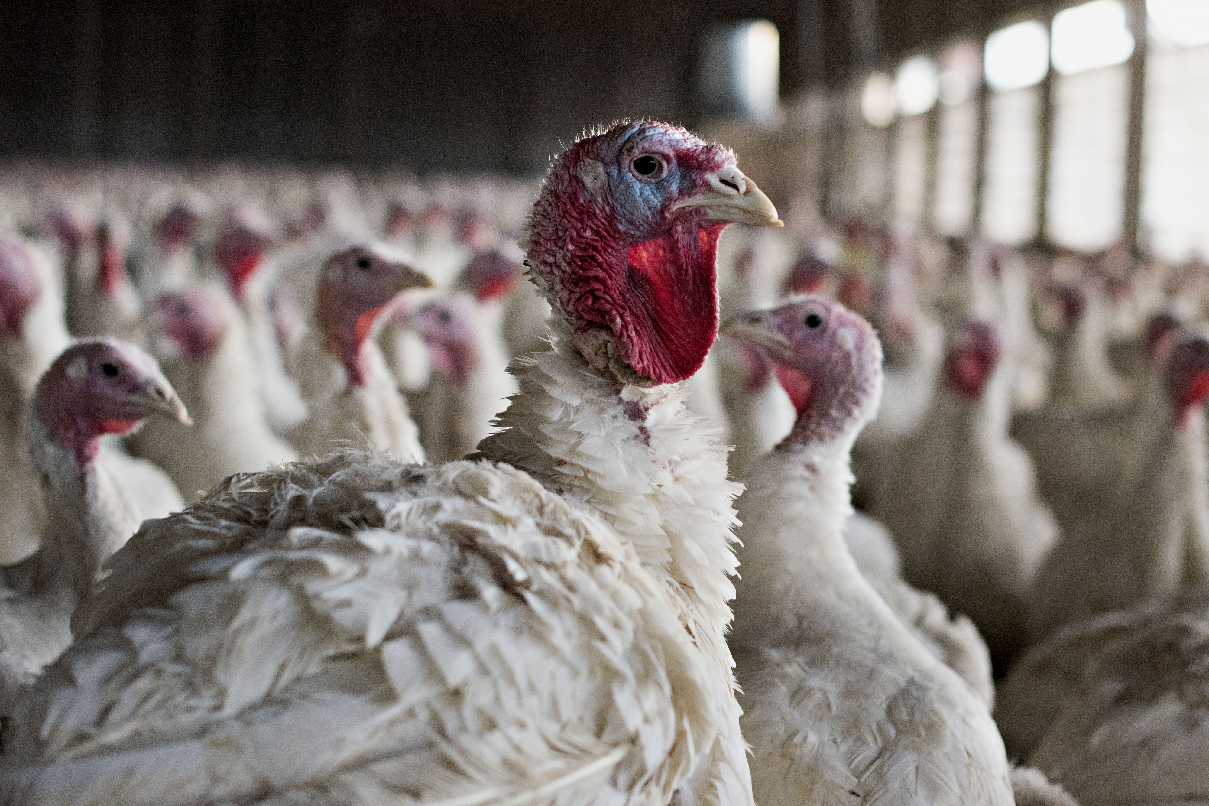 Operations At The Yordy Turkey Farm Ahead Of Thanksgiving