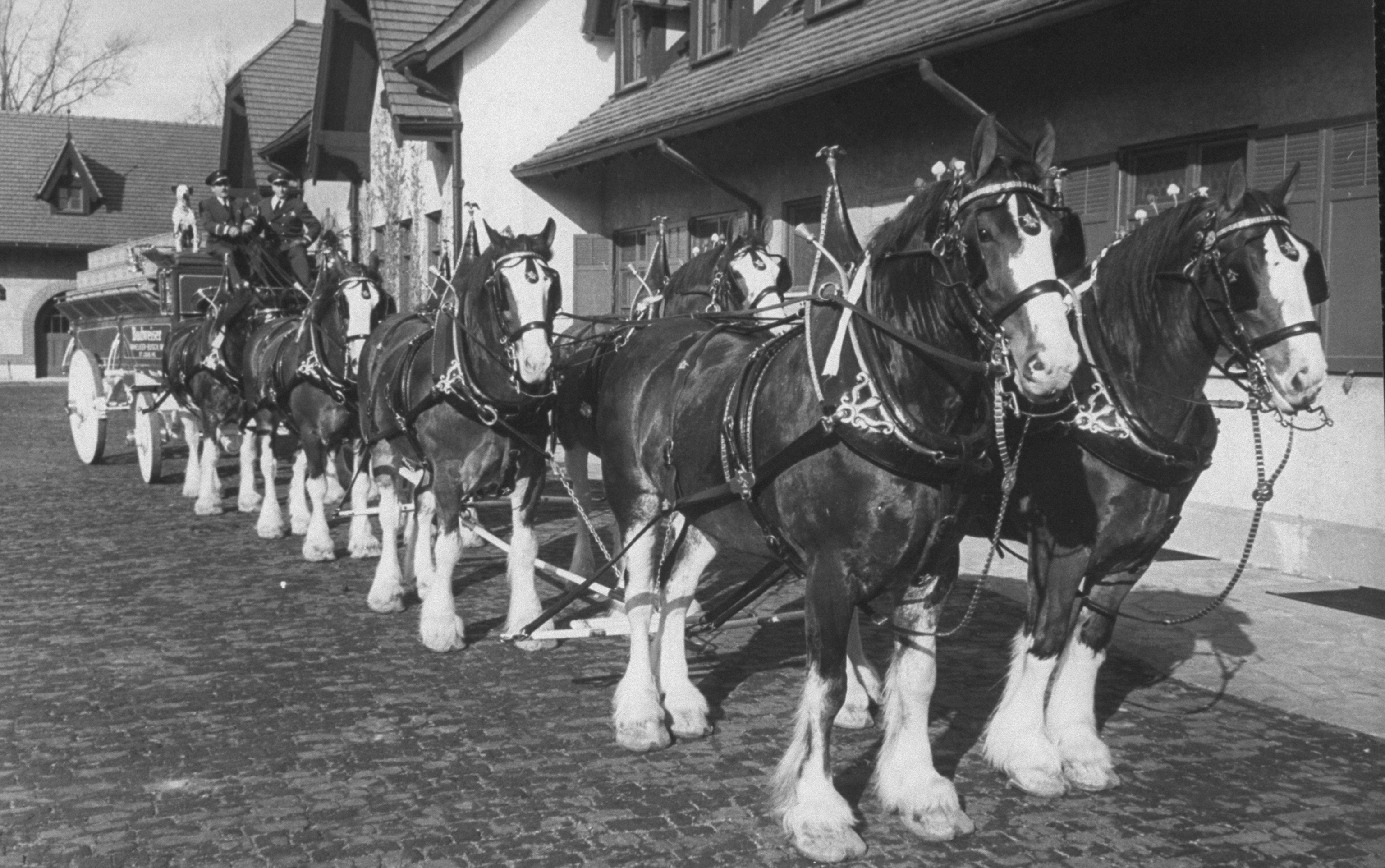 Team of Clydesdale horses hitched to Bud
