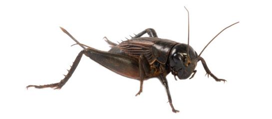 MAC-food-cricket