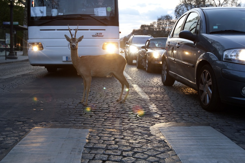 deer traffic