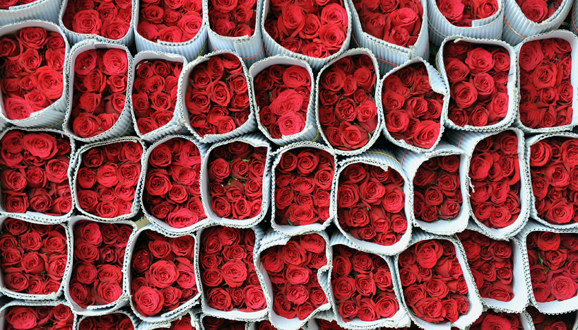 Red roses packed for despatch wait for t