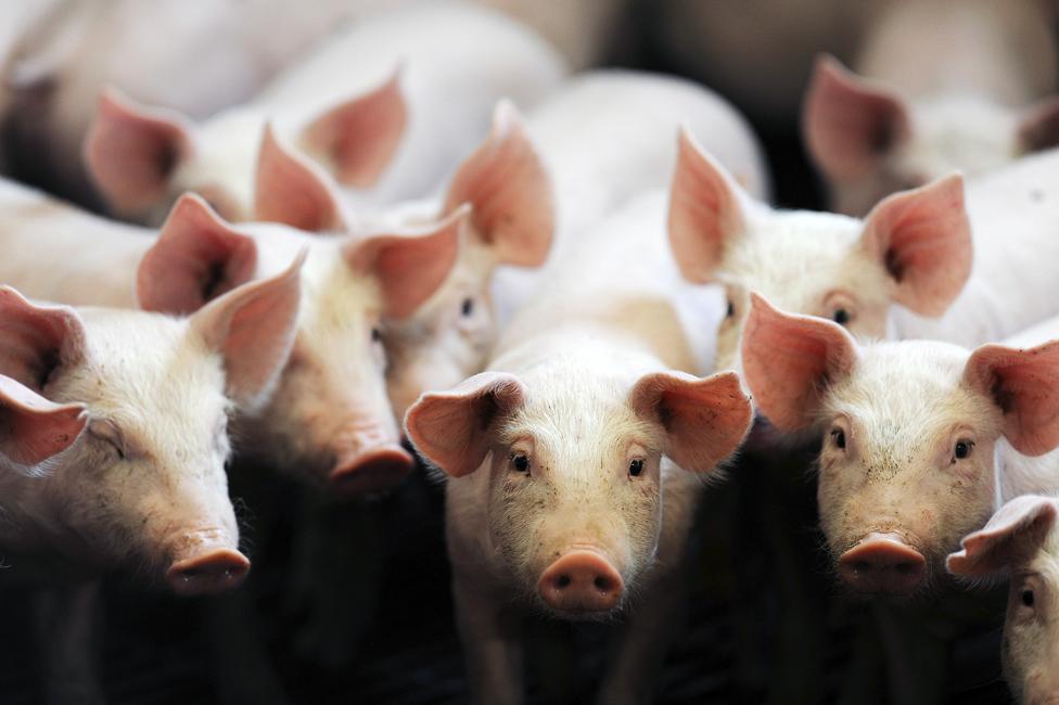 FRANCE-AGRICUTLURE-PIG-FARM