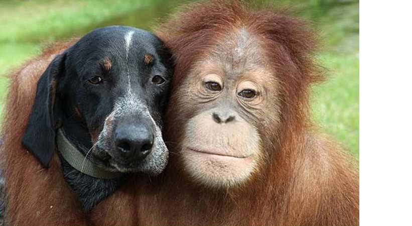 Orangutan and Bluetick Coonhound.