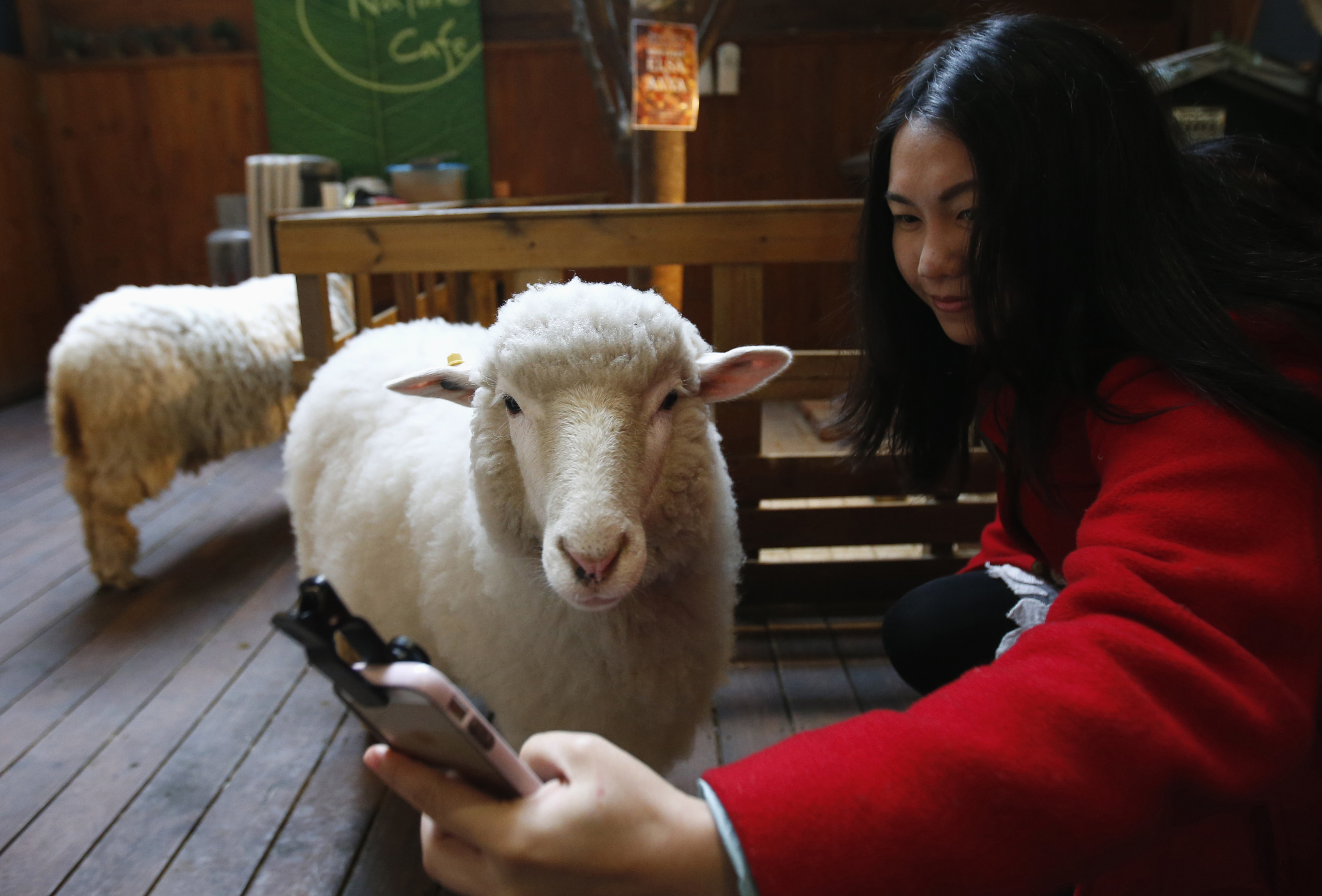 A woman takes a selfie with a sheep at a sheep cafe in Seoul