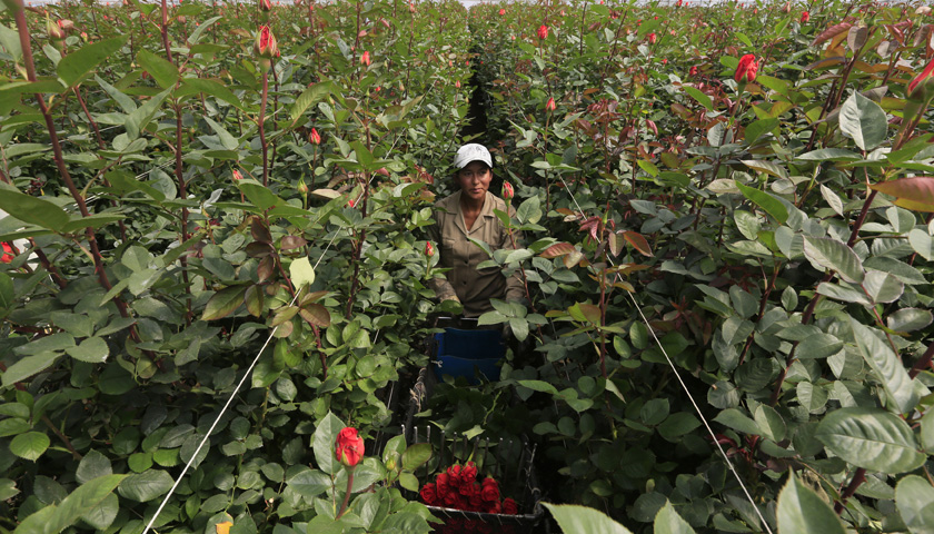 A Colombian flower grower picks up roses ahead of Valentine's Day in Facatativa