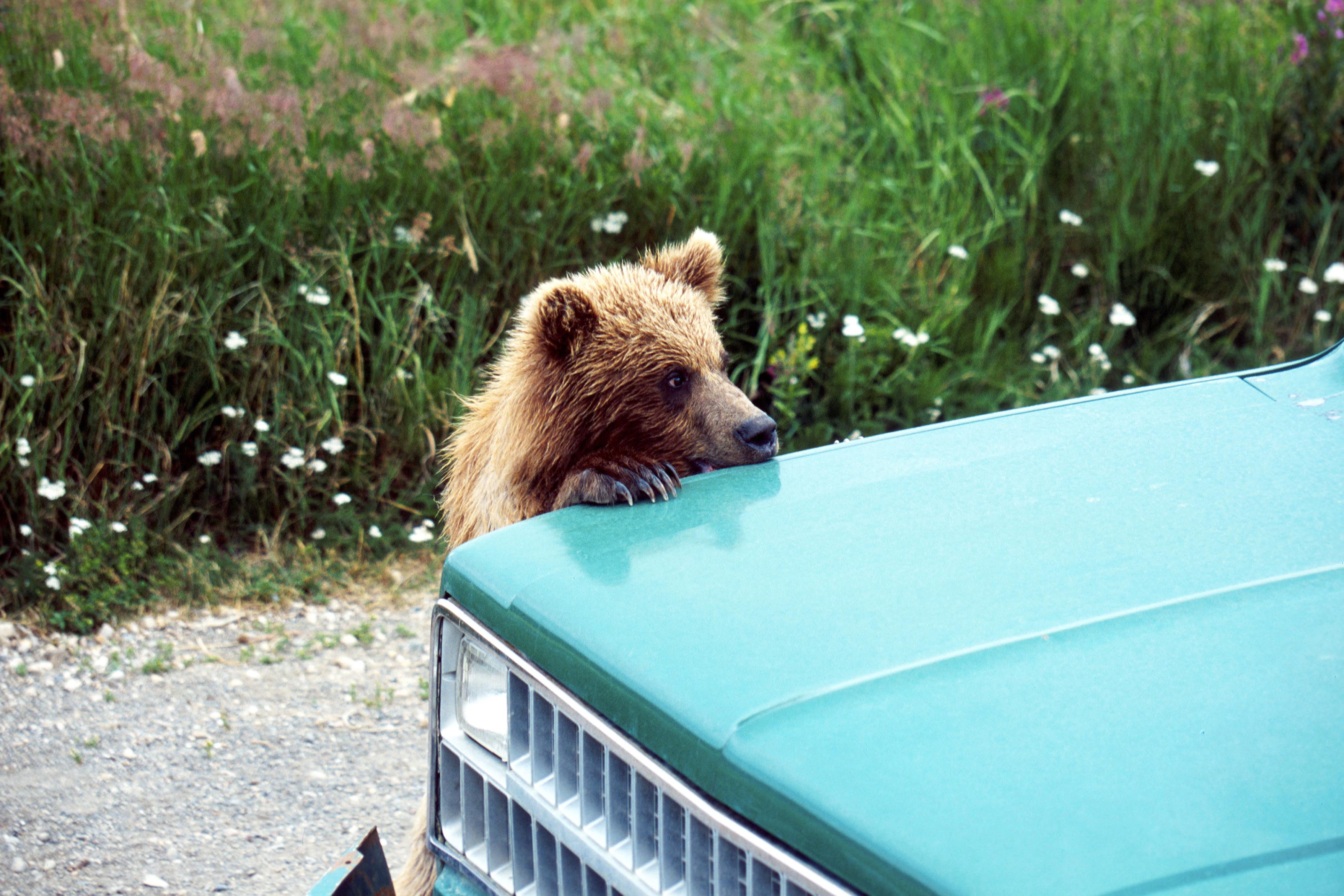 Brown Bear, Ursus arctos horribilis, Cub Playing on a car