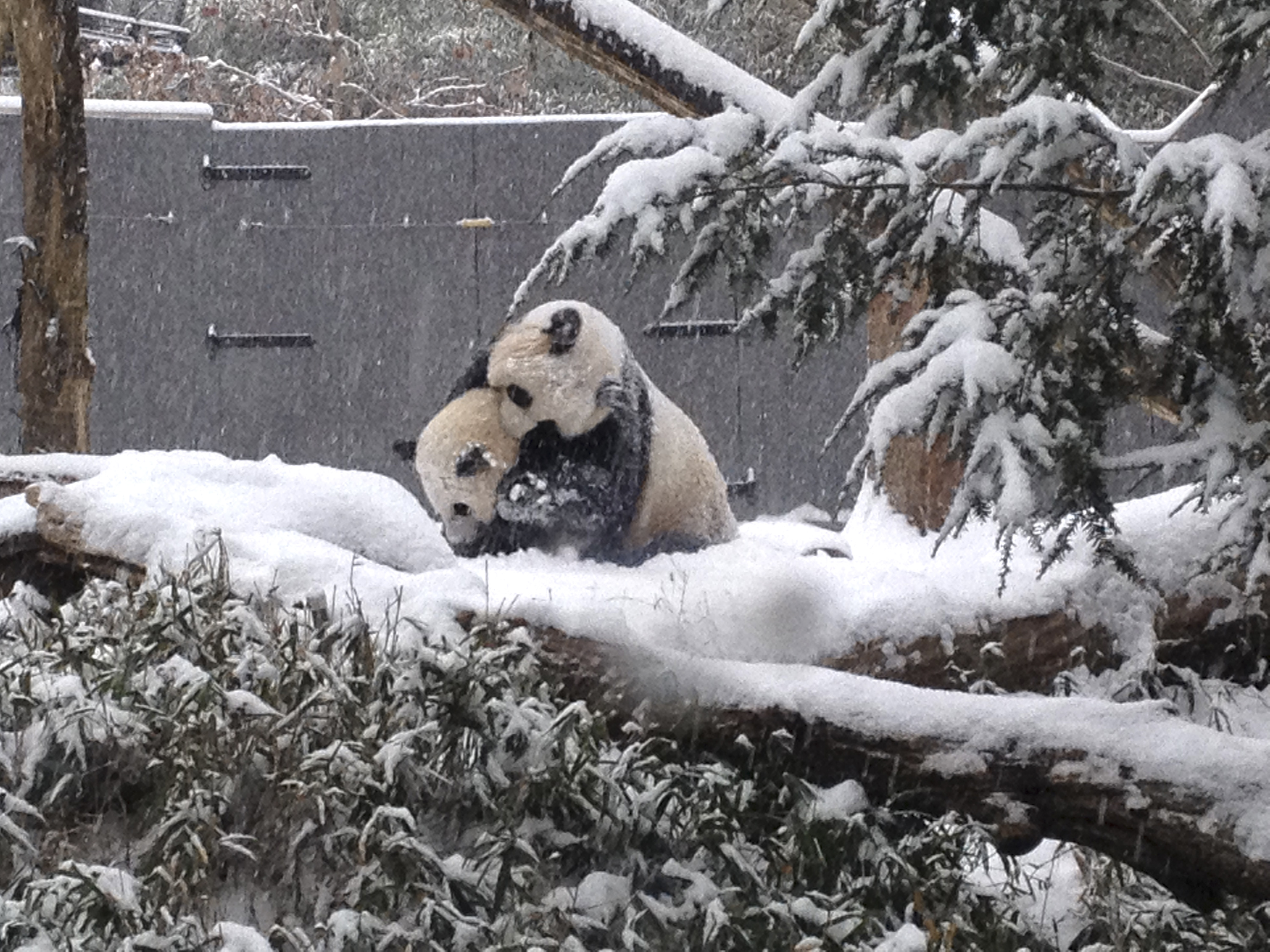 Sixteen-month-old Giant panda cub Bao Bao plays in the snow with her mother Mei Xiang at the Smithsonian's National Zoo in Washington