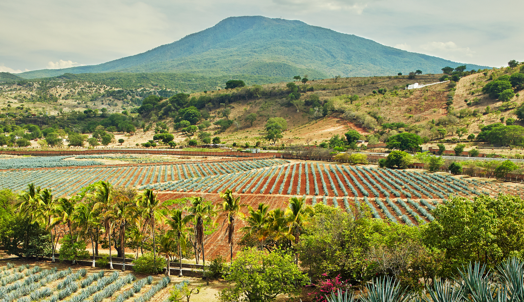 Fortaleza makes its spirits the old way, here the fields in Tequila, Mexico, where its agave is grown.