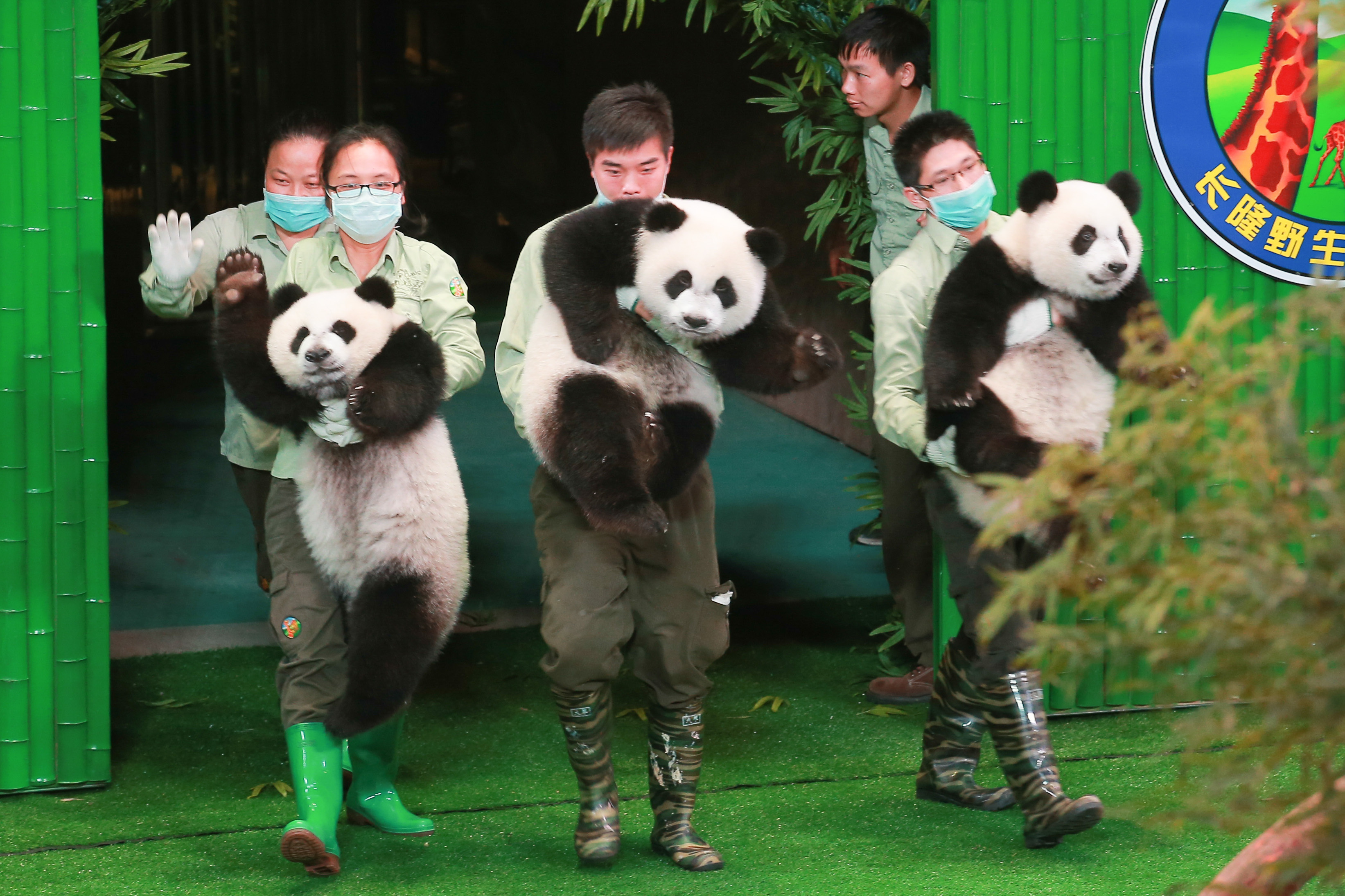 Only Living Panda Triplets Celebrate 1st Birthday In Guangzhou