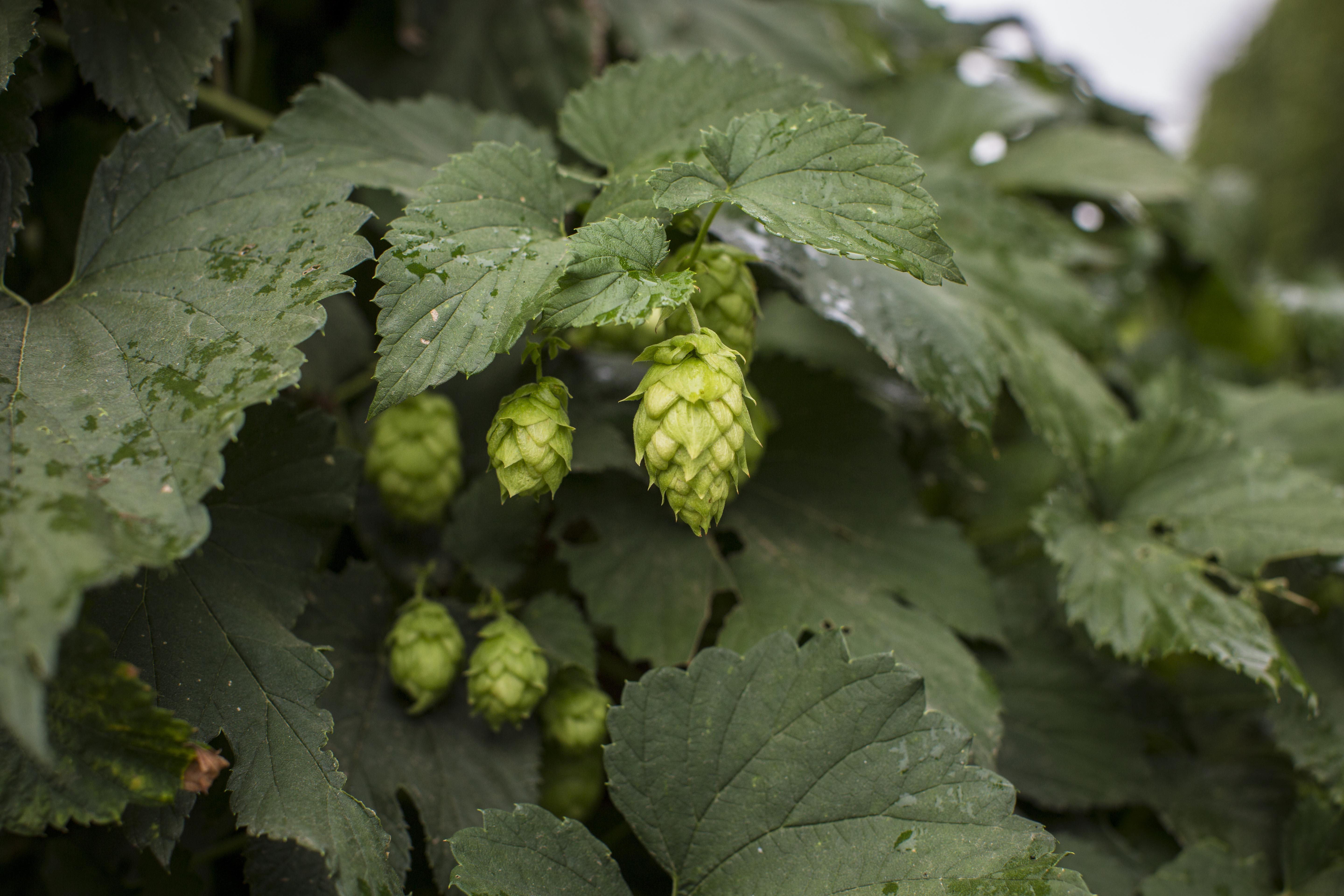 Hops, like those pictured above, are a critical ingredient in most beers.