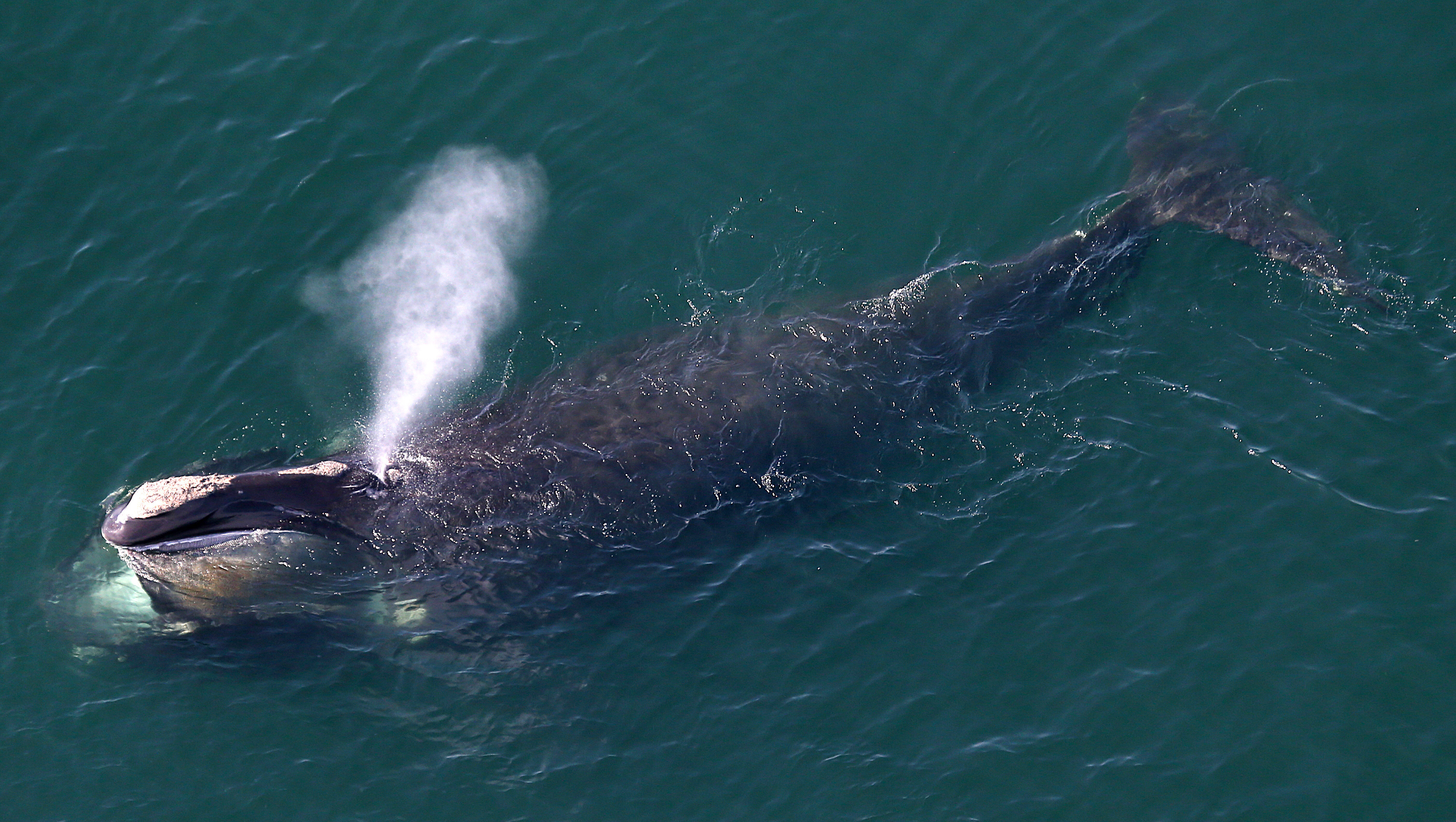 Right Whales Spotted Close To Shore On Cape Cod Bay