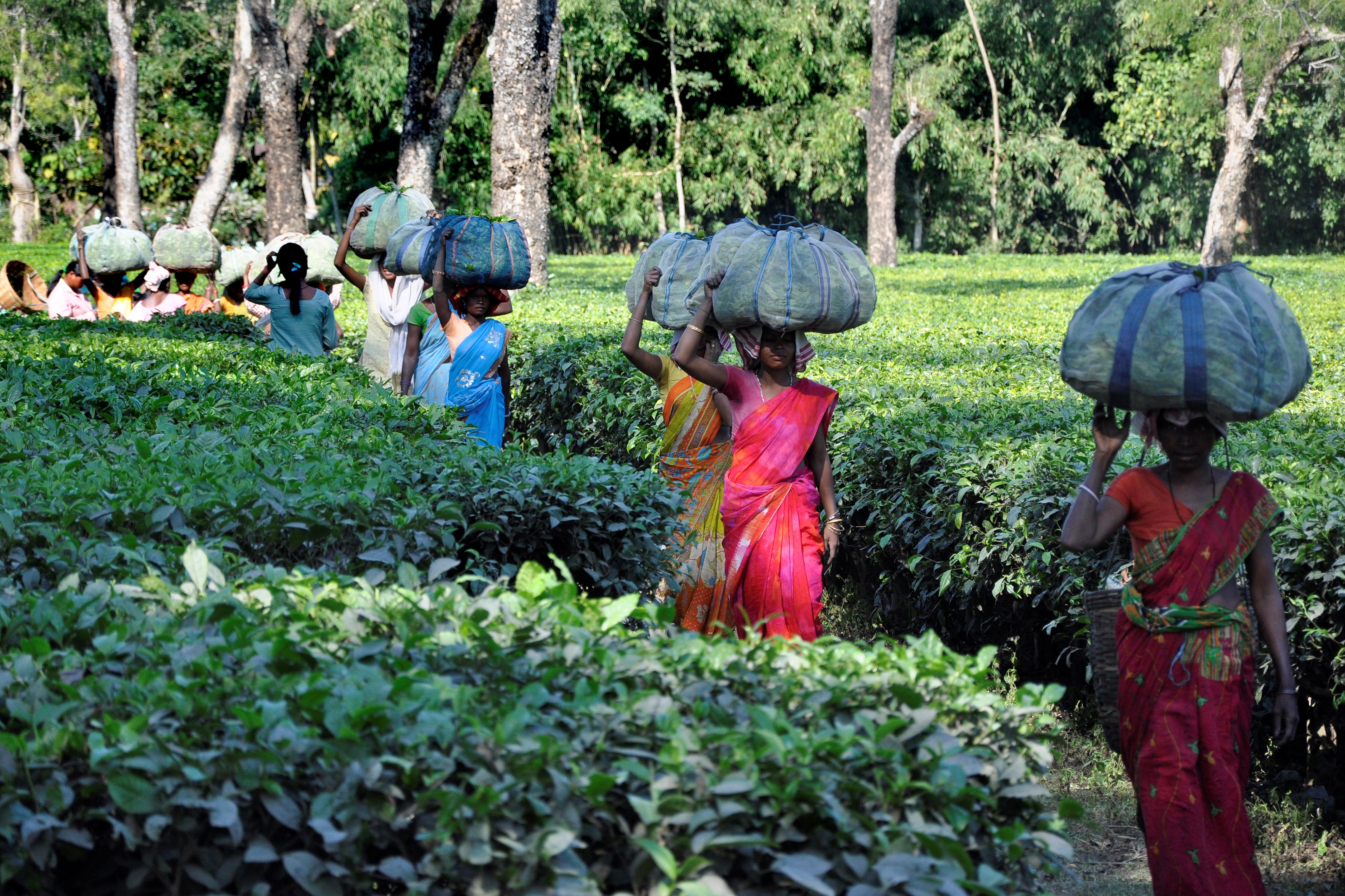 Tea Field. Assam. India.
