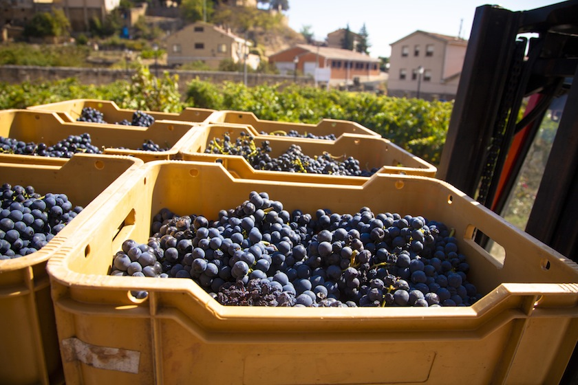 Harvest season in Briones, La Rioja, Spain