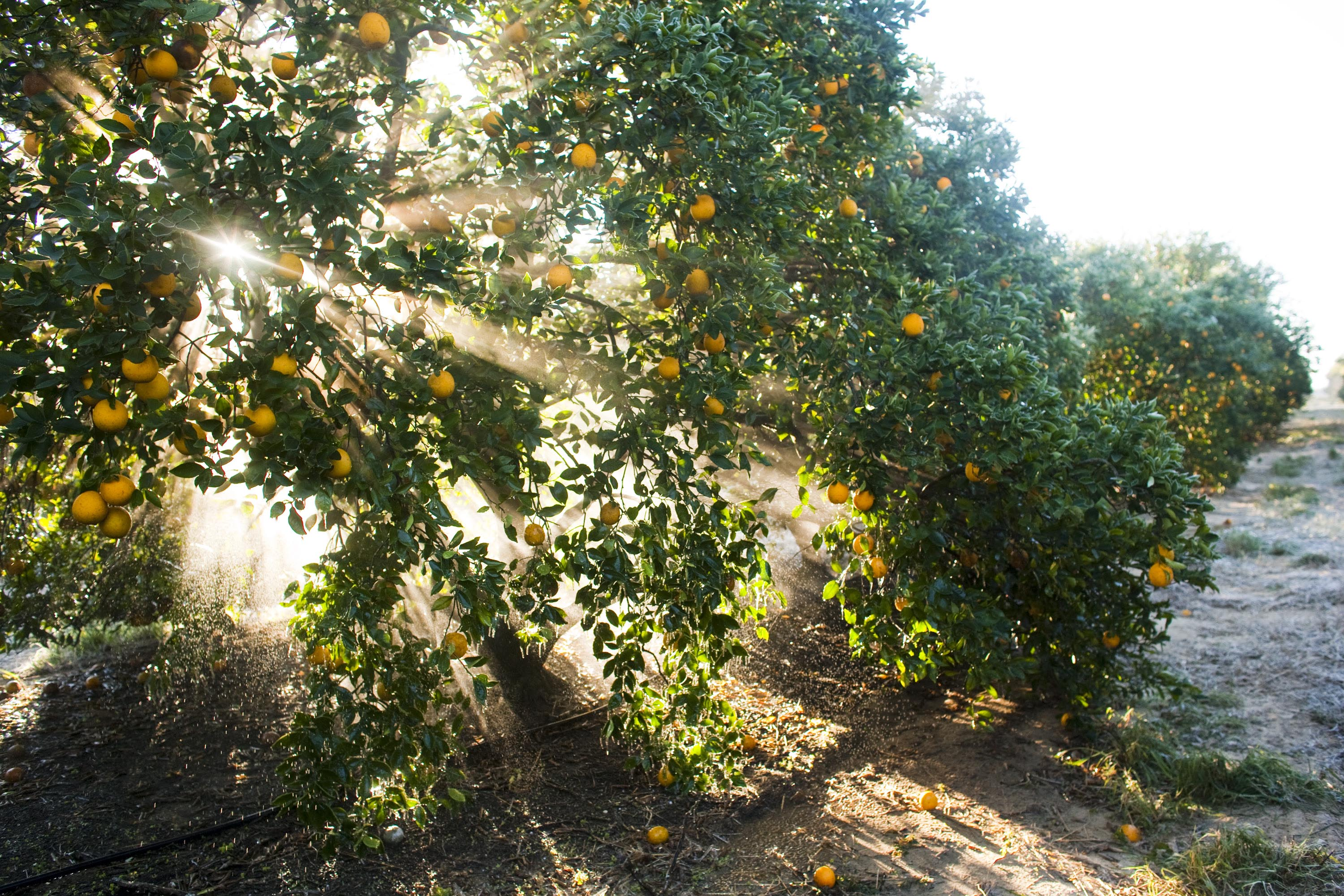 Oranges hang from a tree at a commercial grove near Winter G