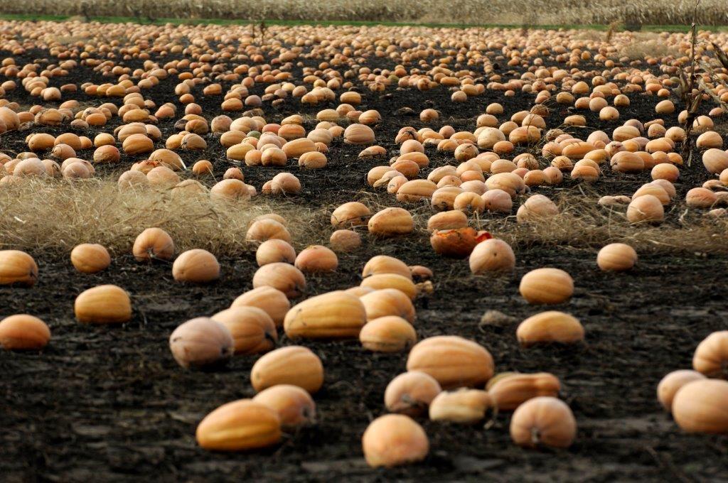 A field near Morton, Illinois, where Libby's Select pumpkins were ready to harvest.
