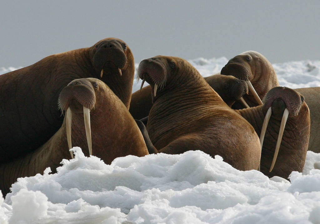 Walrus in the Arctic.