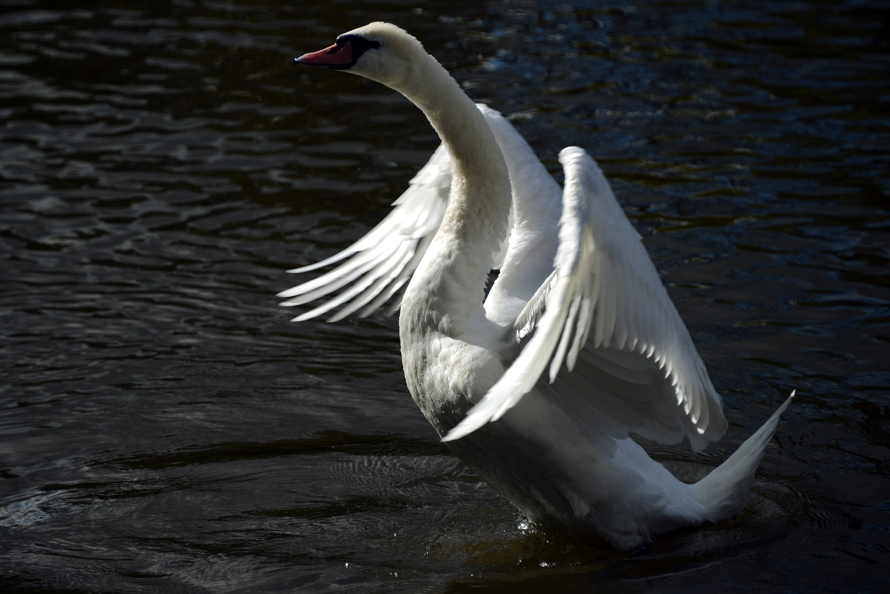 BRITAIN-SWAN-FEATURE