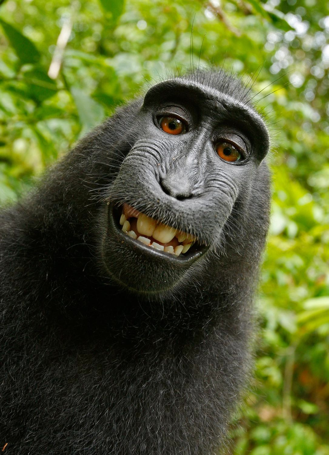 Naruto, the Celebes crested macaque, took her own selfie with David Slater's camera in 2011. The photo's copyright has been debated ever since.