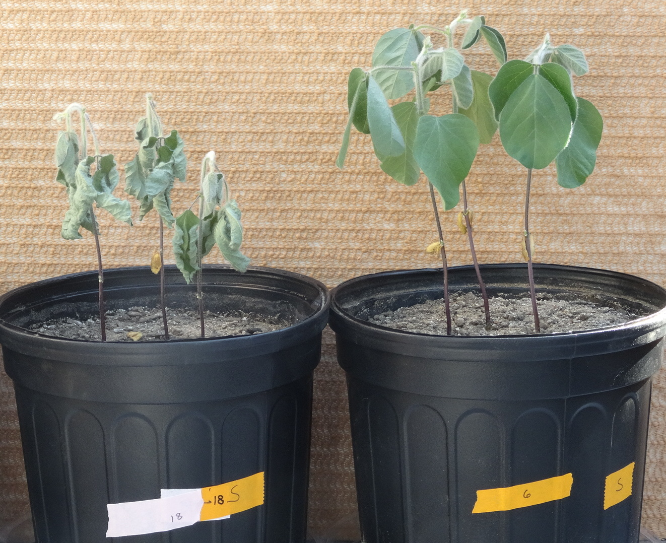 Soy that has undergone drought conditions in a greenhouse. The plant on the right was treated with Indigo's microbes.