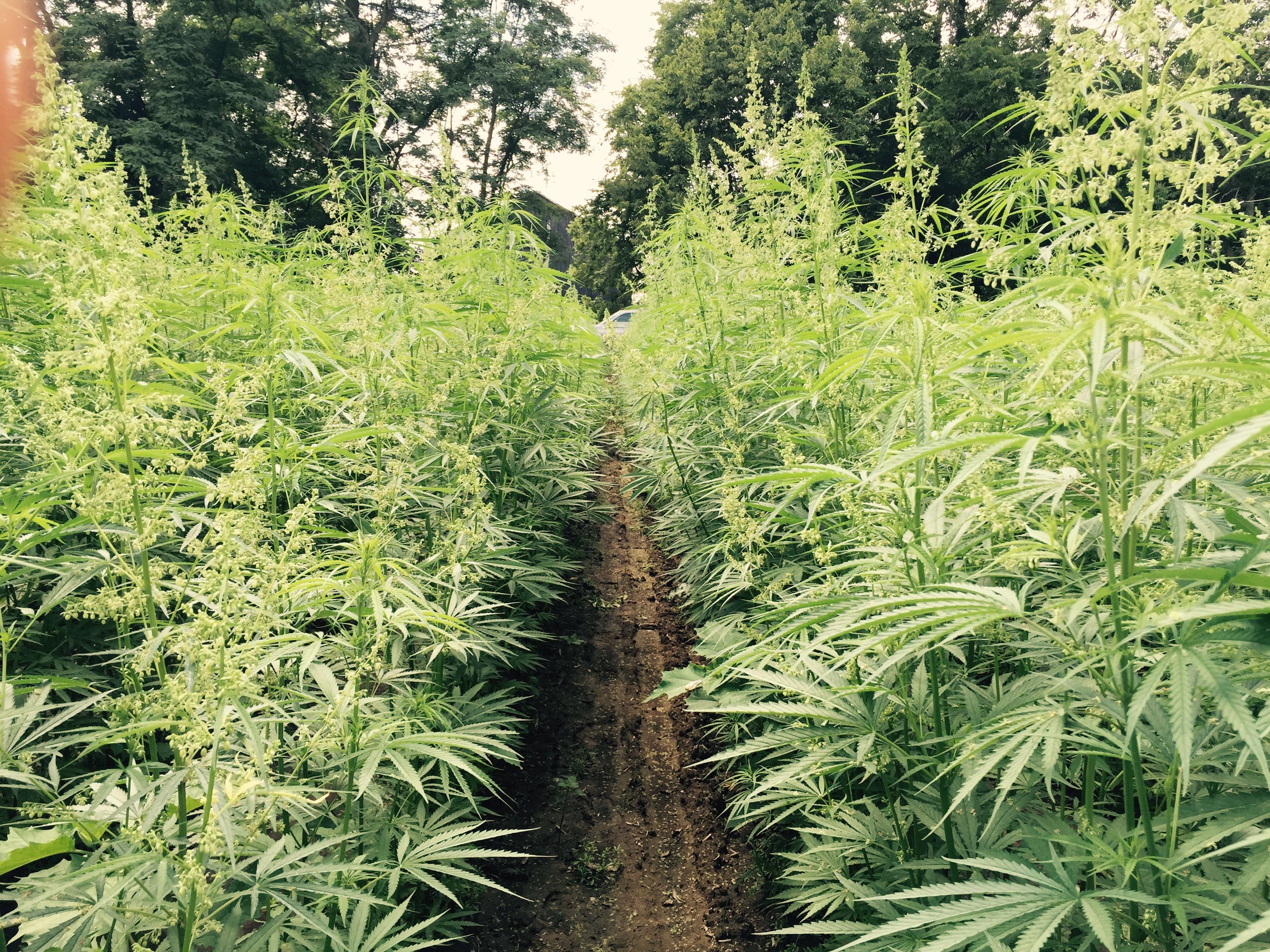 A hemp farm.