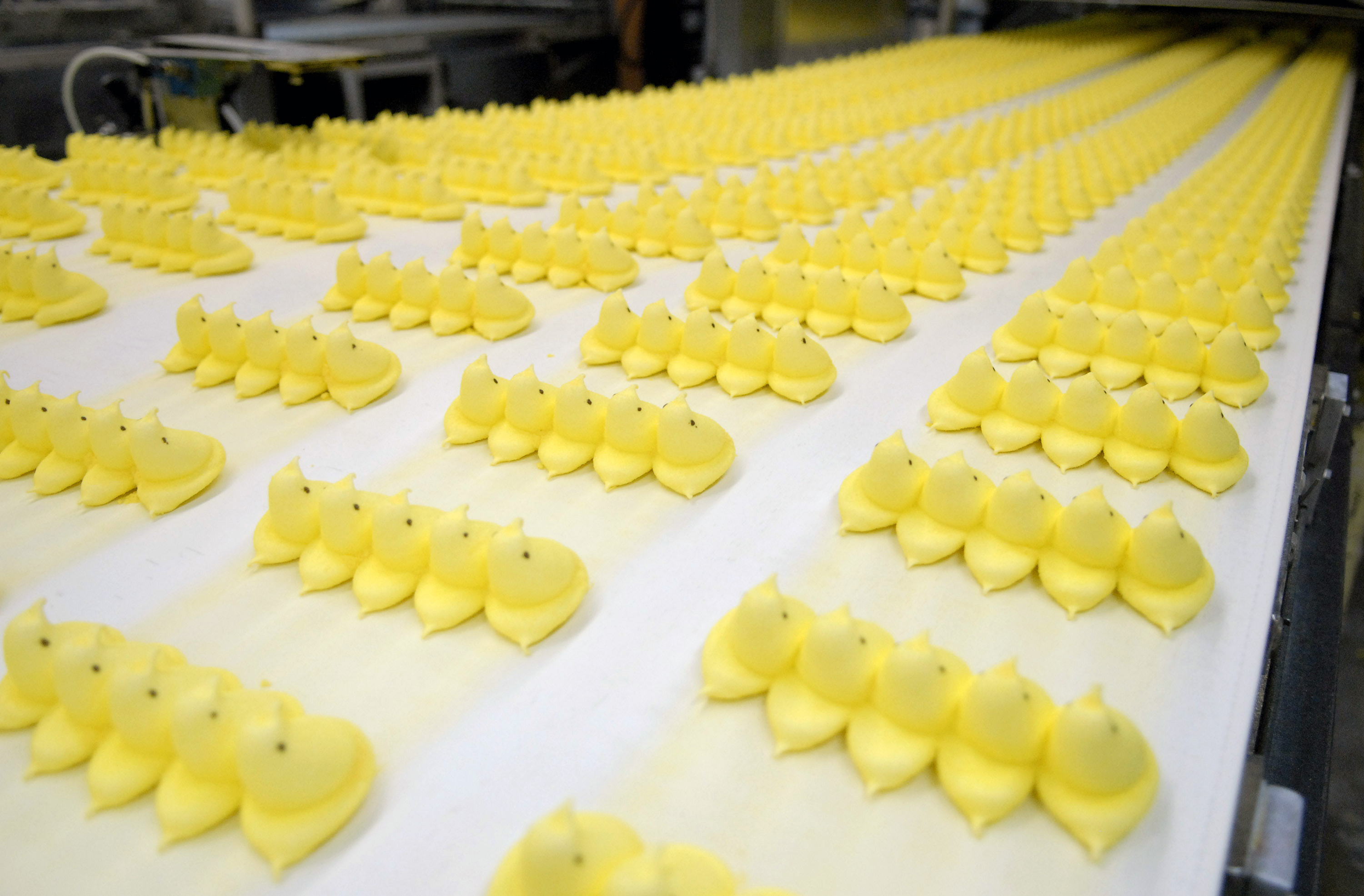 Marshmallow candy Peeps chicks move down a conveyor belt to