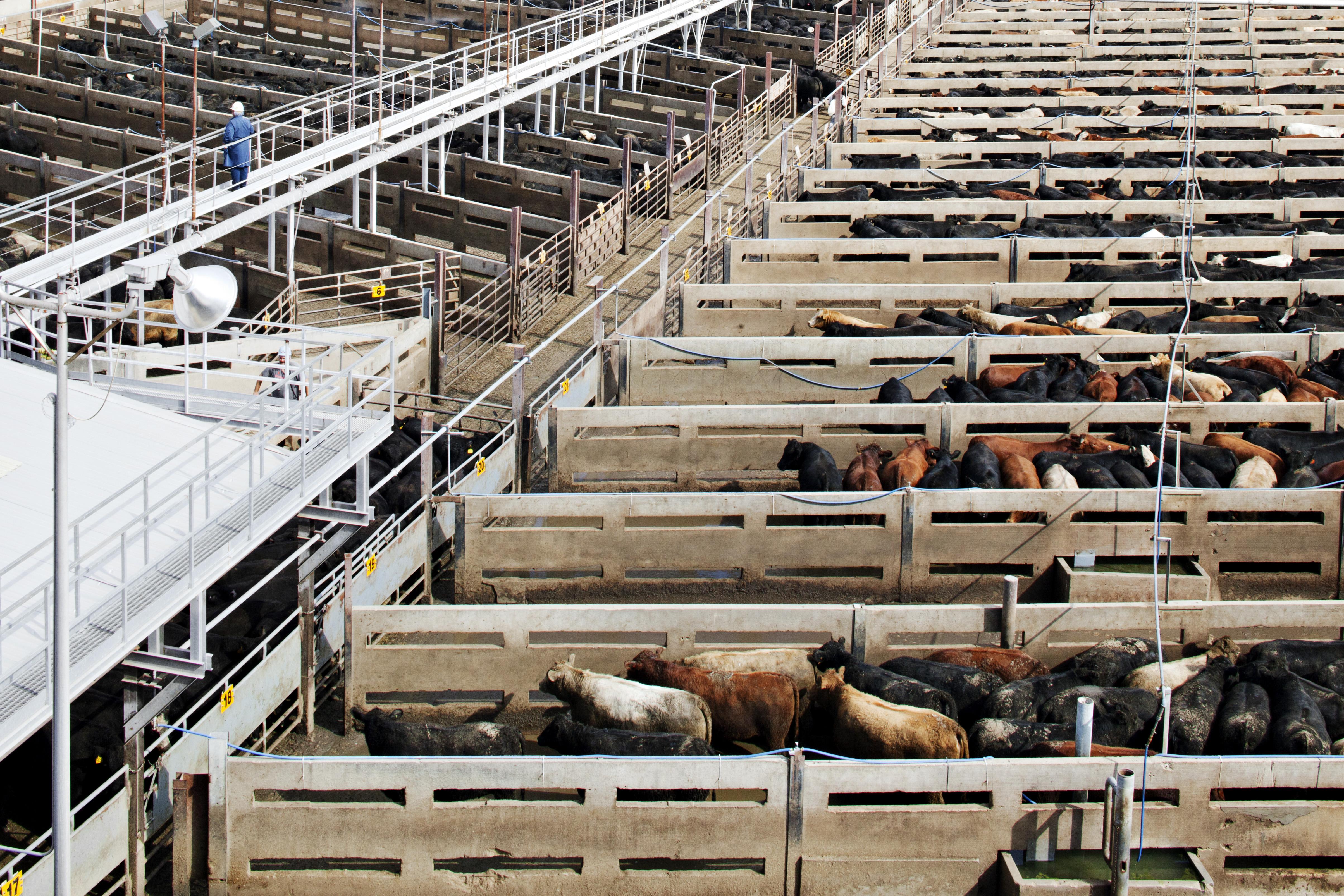 Beef cows at Cargill's Schyler, Nebraska facility