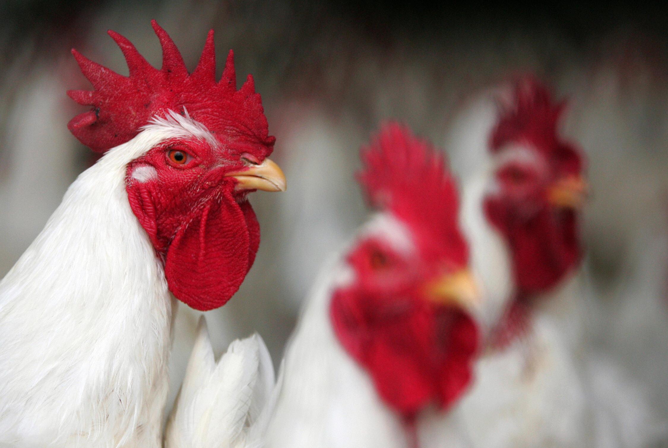 Chicken sit in a farm near Jamasa city,
