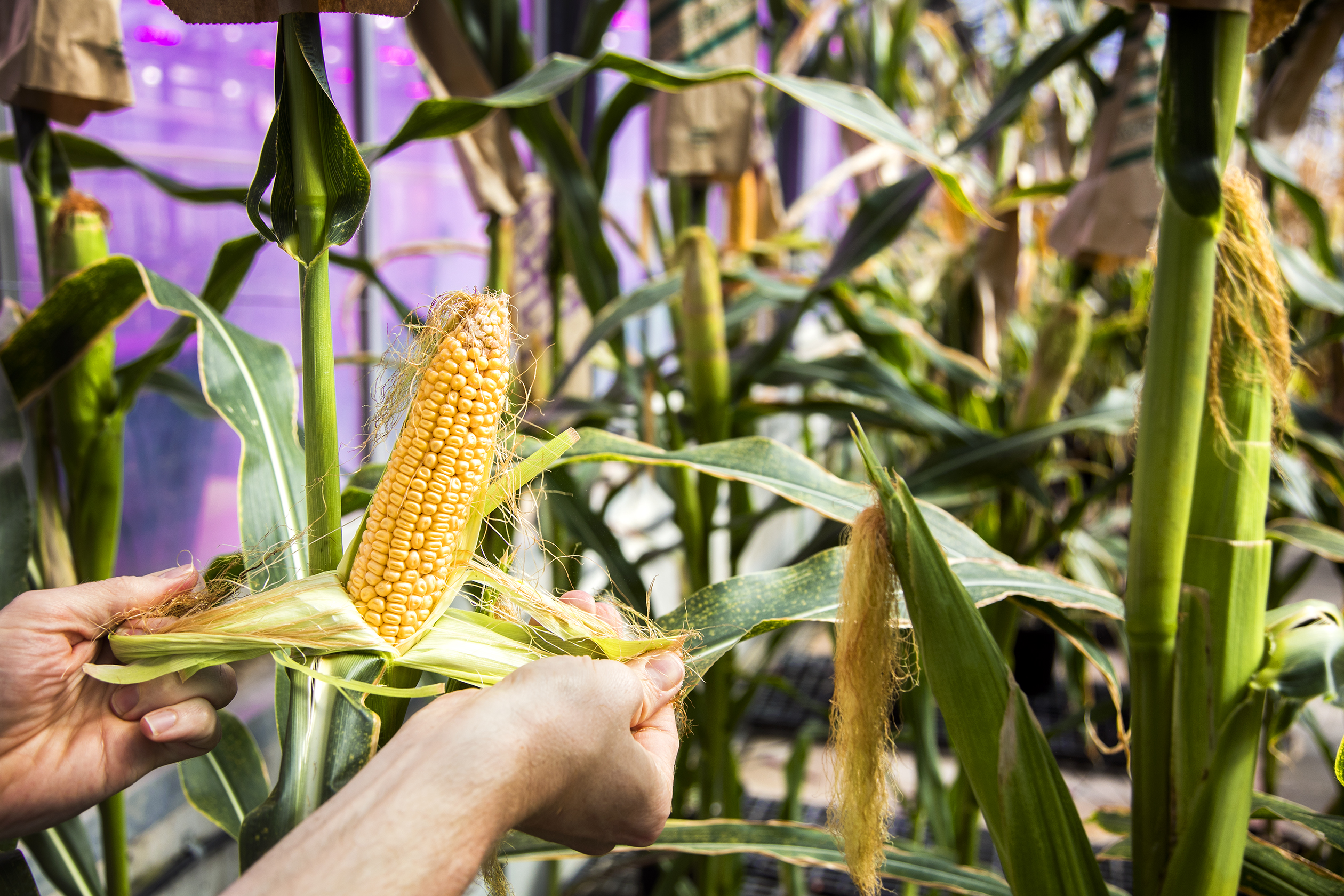 David O'Connor, corn and soy production lead, checks the quality of corn in one of Monsanto's greenhouses at its research facility in Chesterfield, Mo., on Thursday, May 5, 2016. Photo by Ryan Donnell.