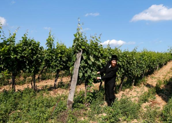A rabbi looks at grapes in a vineyard in famous Tokaj wine region in the village of Mad