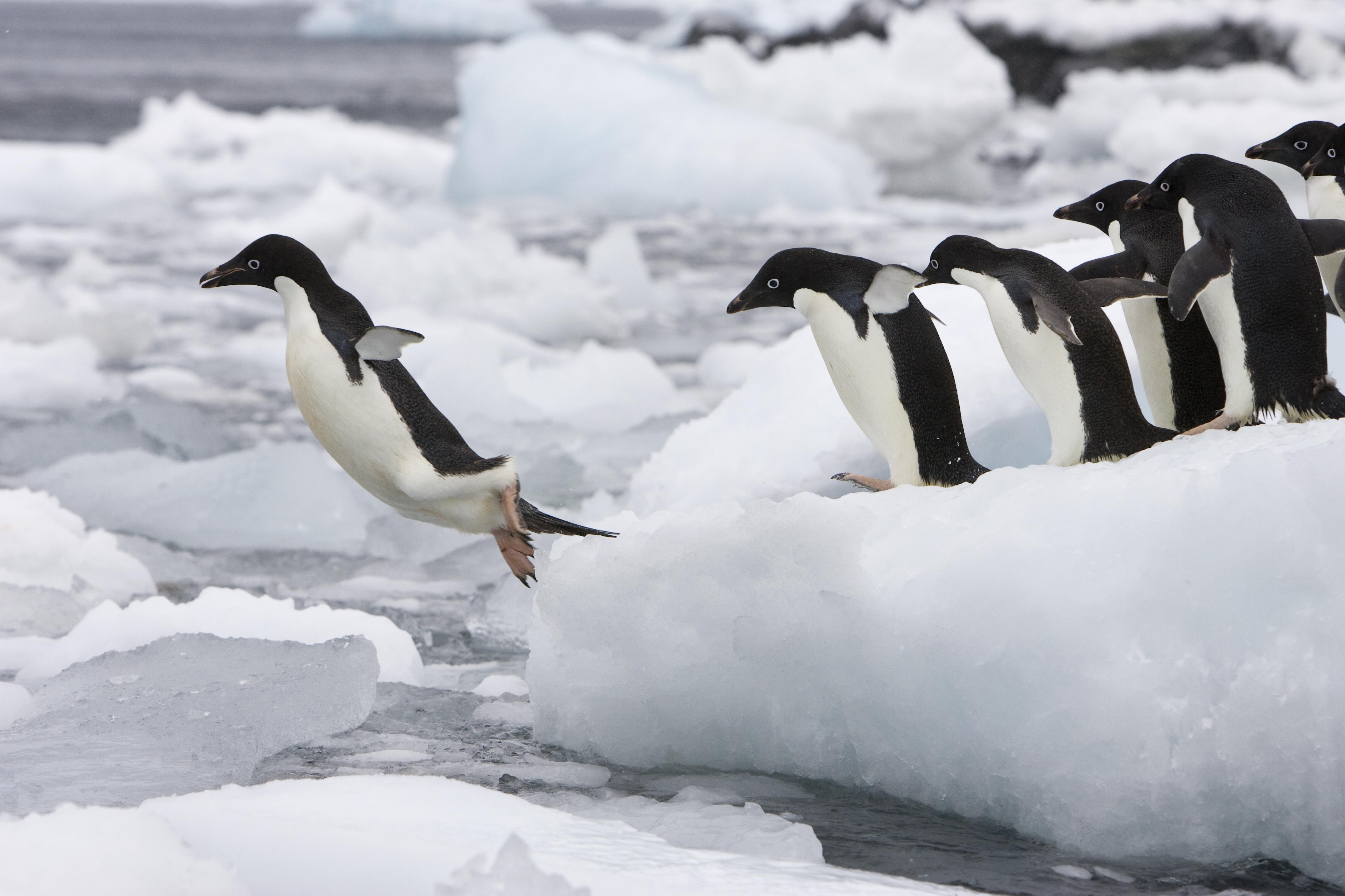 Adelie Penguin (Pygoscelis adeliae) group diving off iceberg, Paulet Island, Antarctica