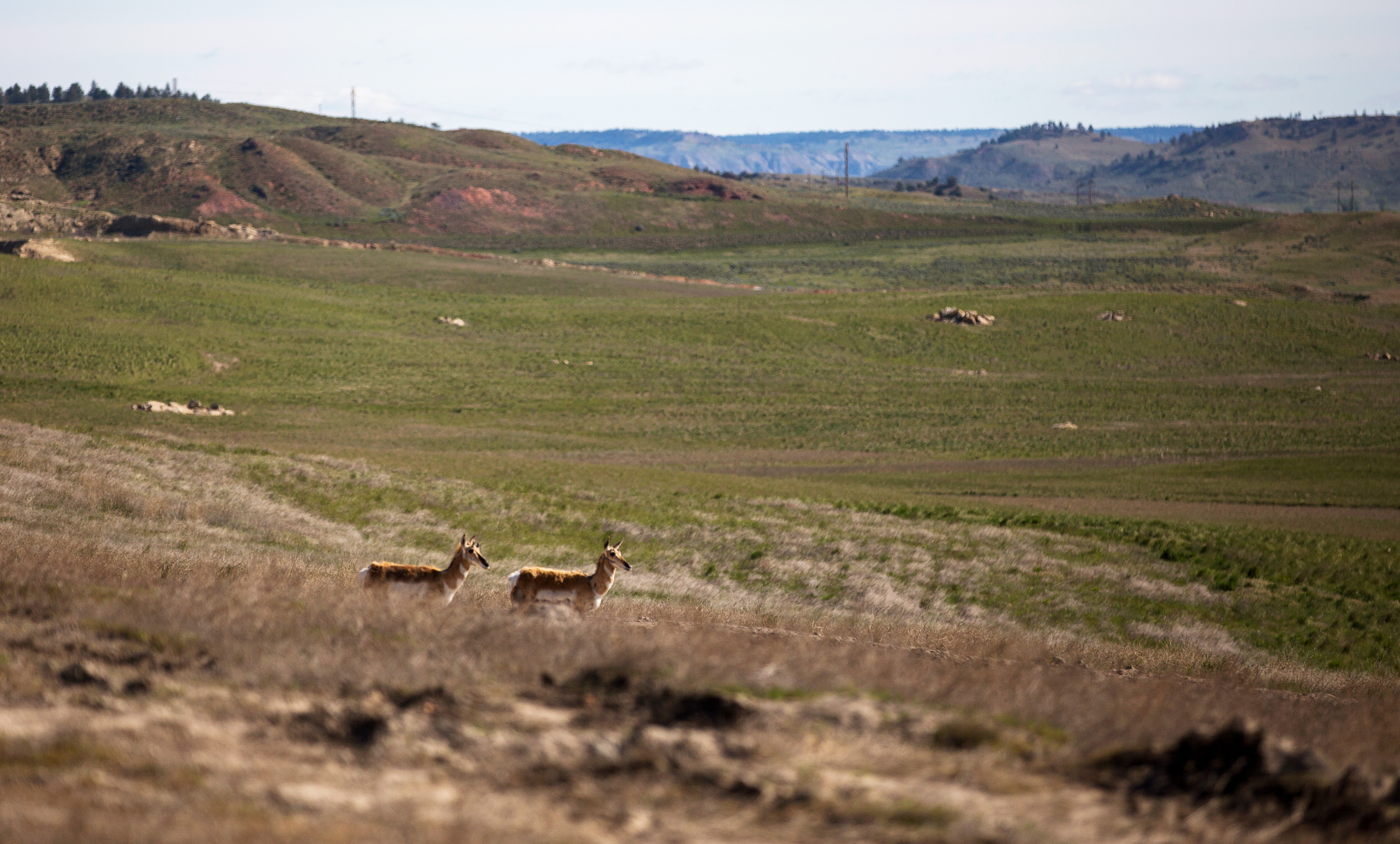 Pronghorn antelope are seen in a view of reclaimed land during a tour of Peabody Energy's Rawhide coal mine near Gillette