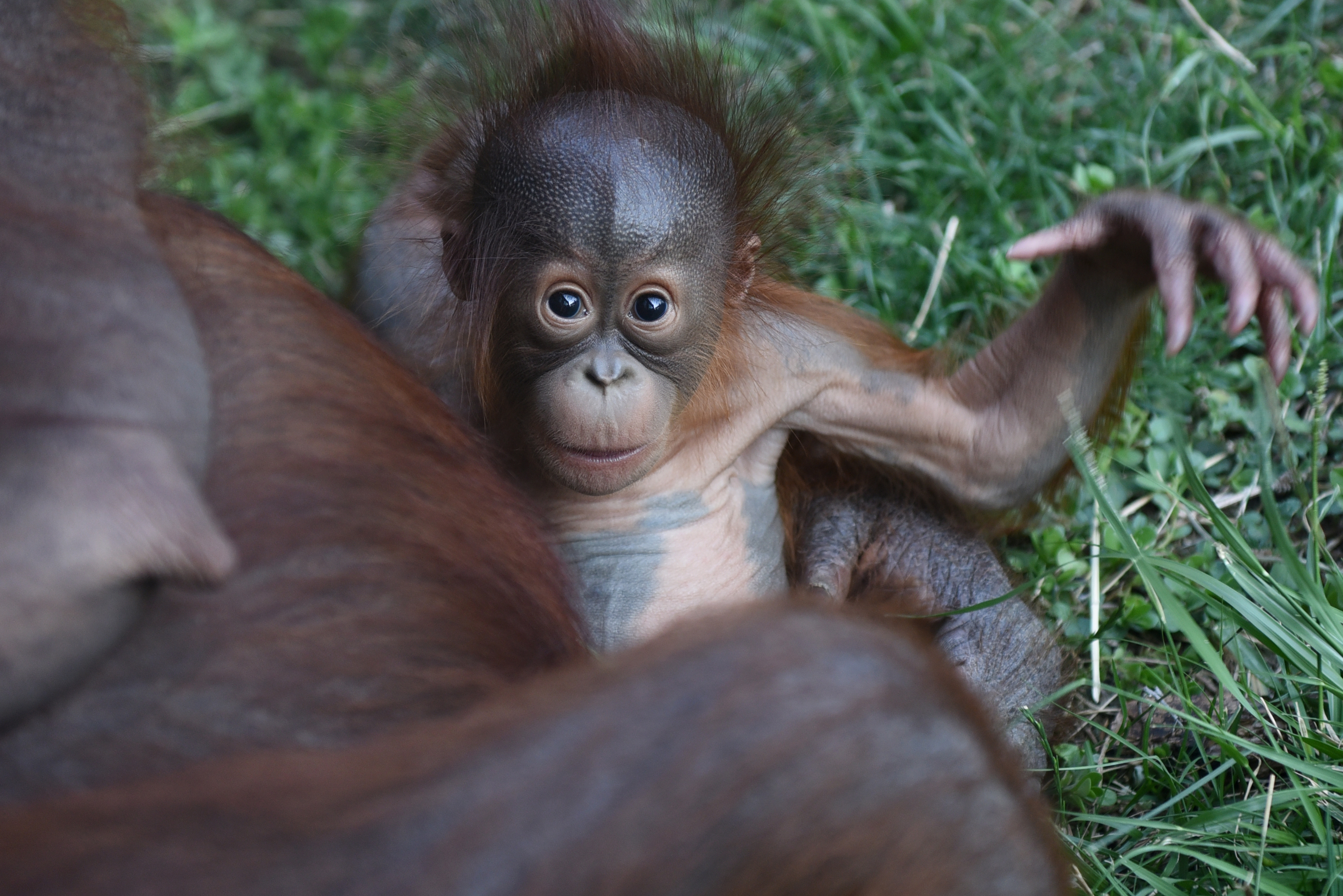 The baby Bornean orangutan pictured playing with her mother