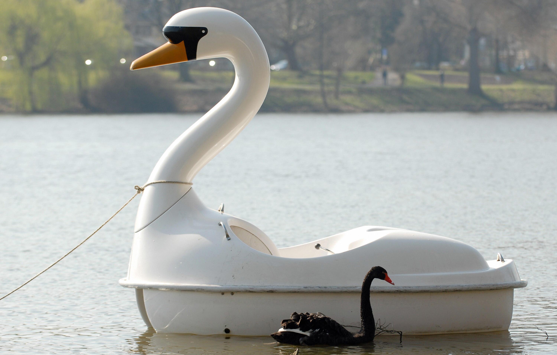 Black swan Petra swims besides a swan sh