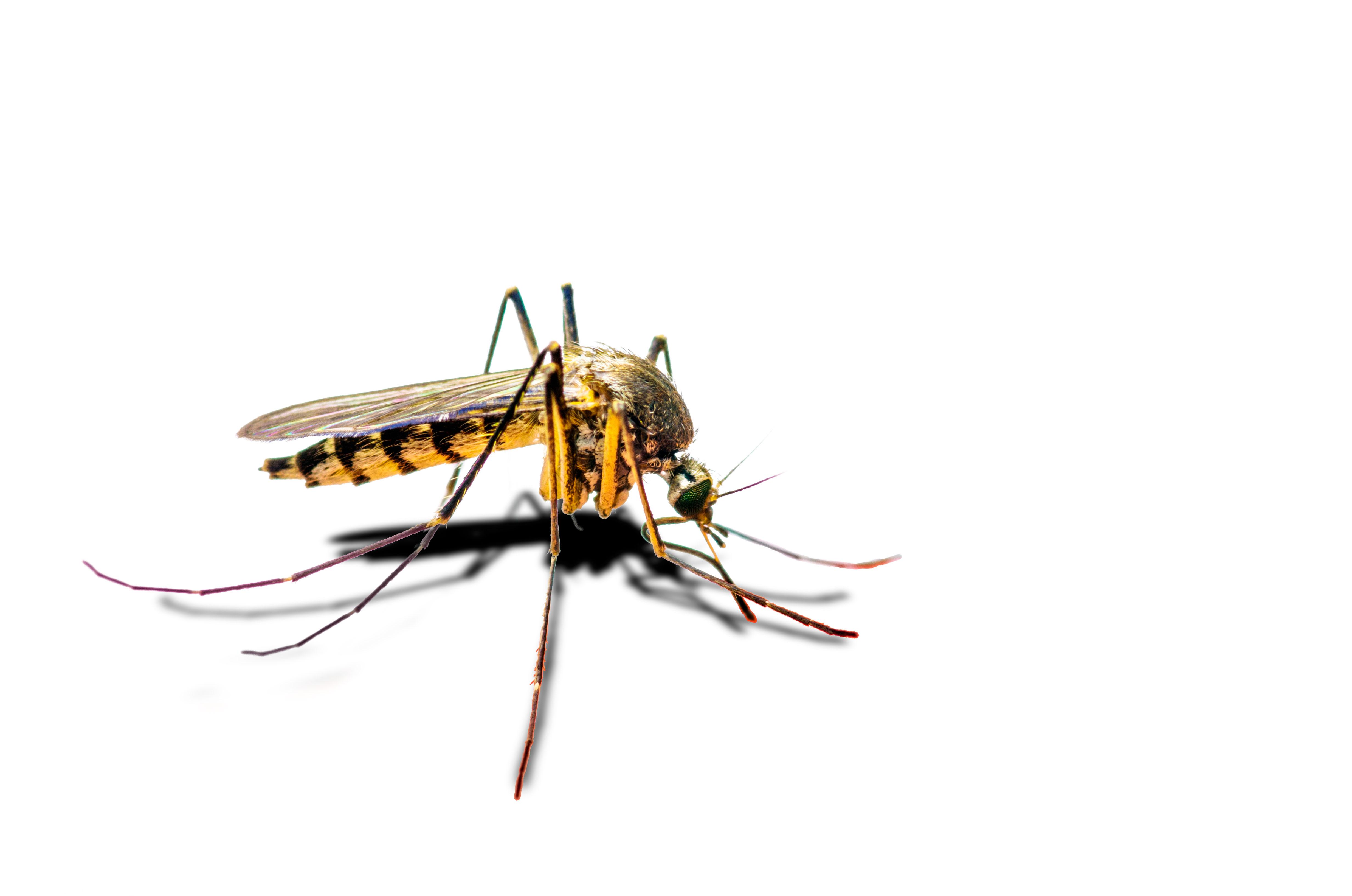 Stinging Mosquito
