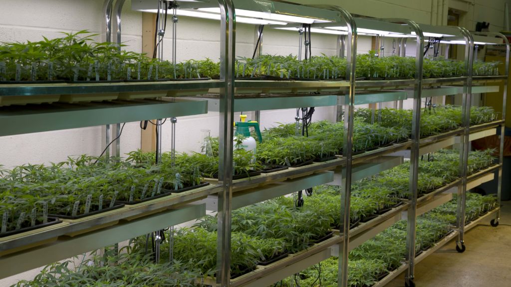Mahmoud ElSohly oversees marijuana growing operations at the University of Mississippi.