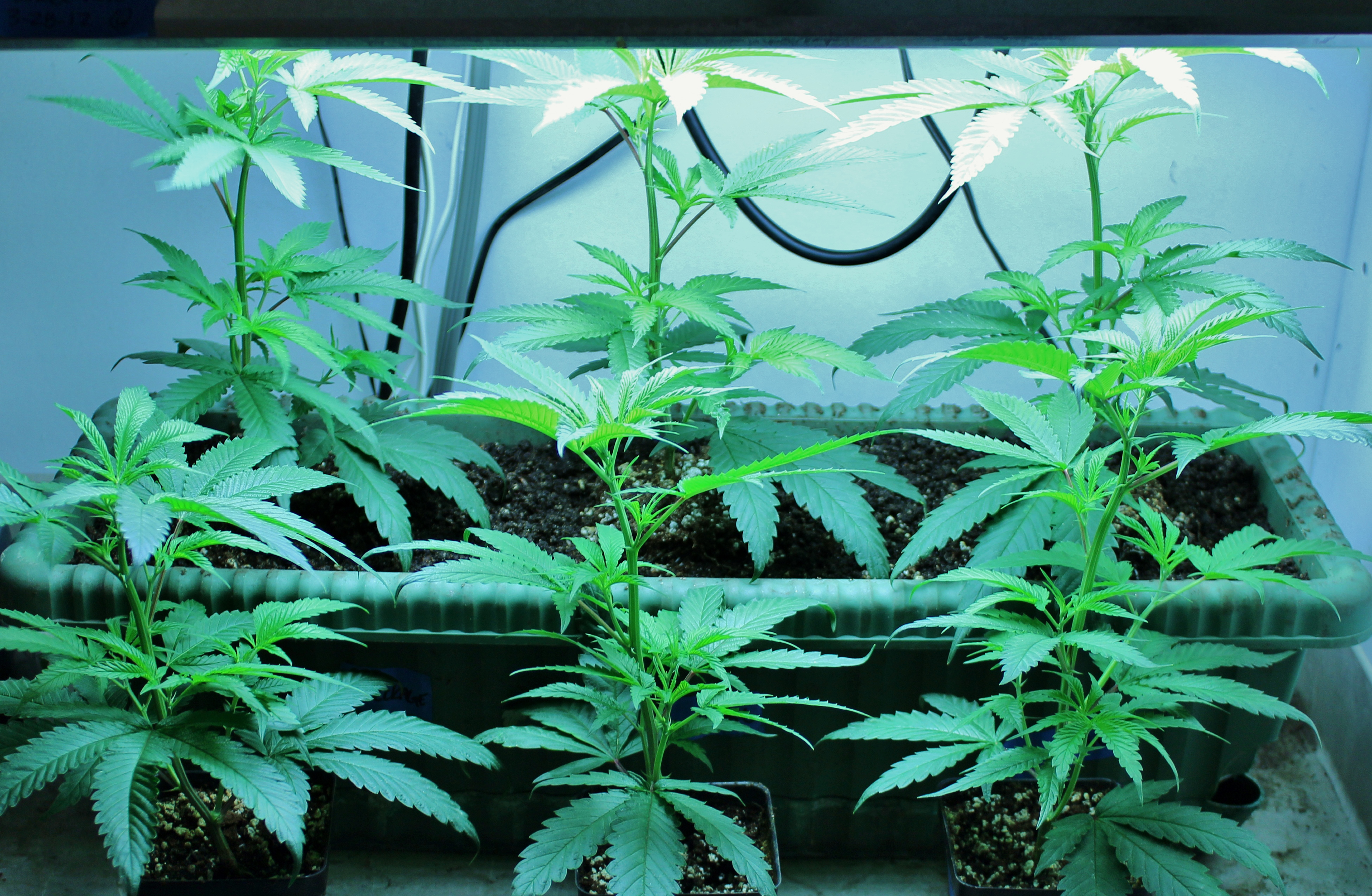Freshly Planted Marijuana Clones