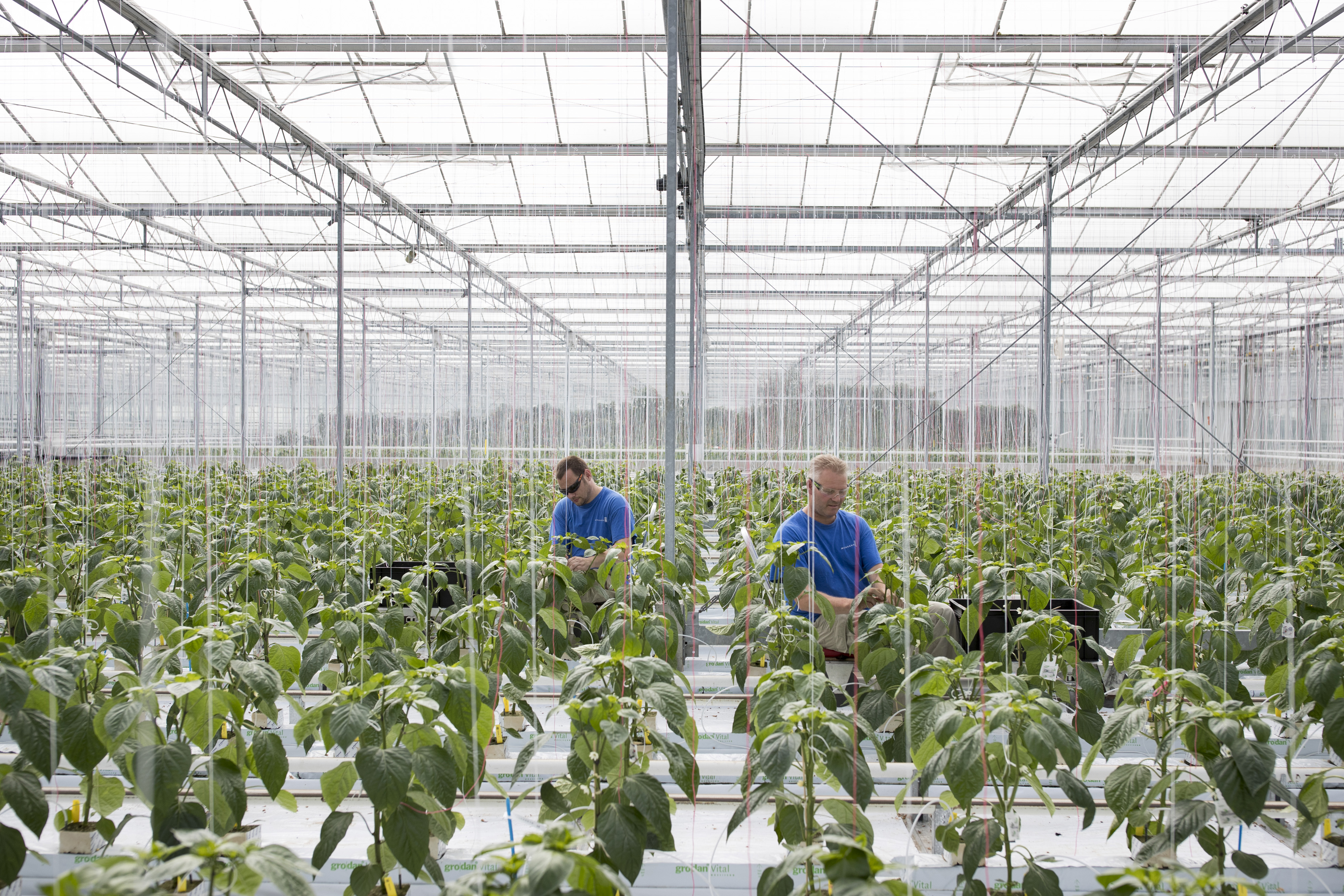 Workers inside a Monsanto greenhouse.
