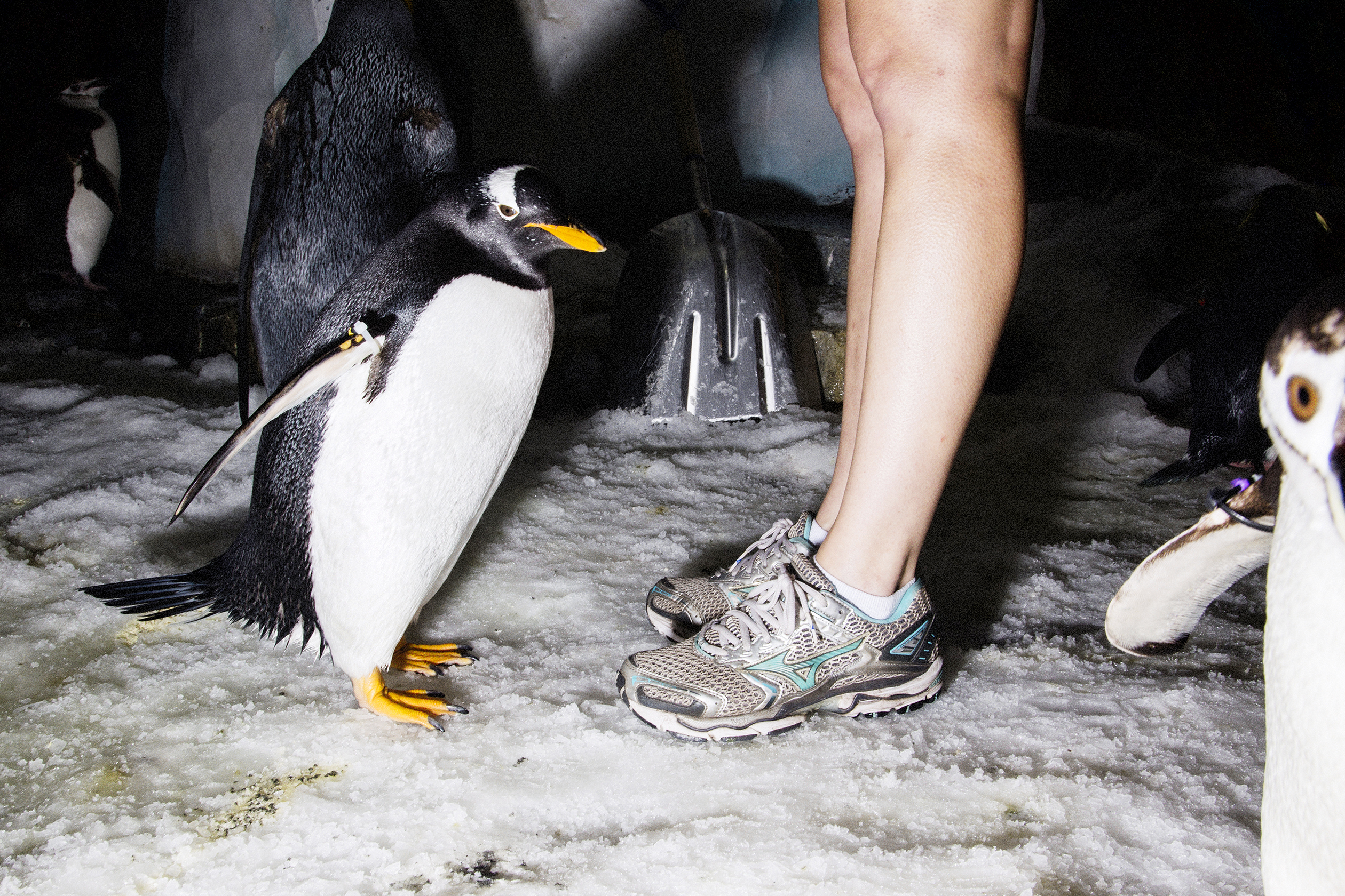 Manby's strategy puts more emphasis on animals like Gentoo penguins at SeaWorld's Antartica: Empire of the Penguin.