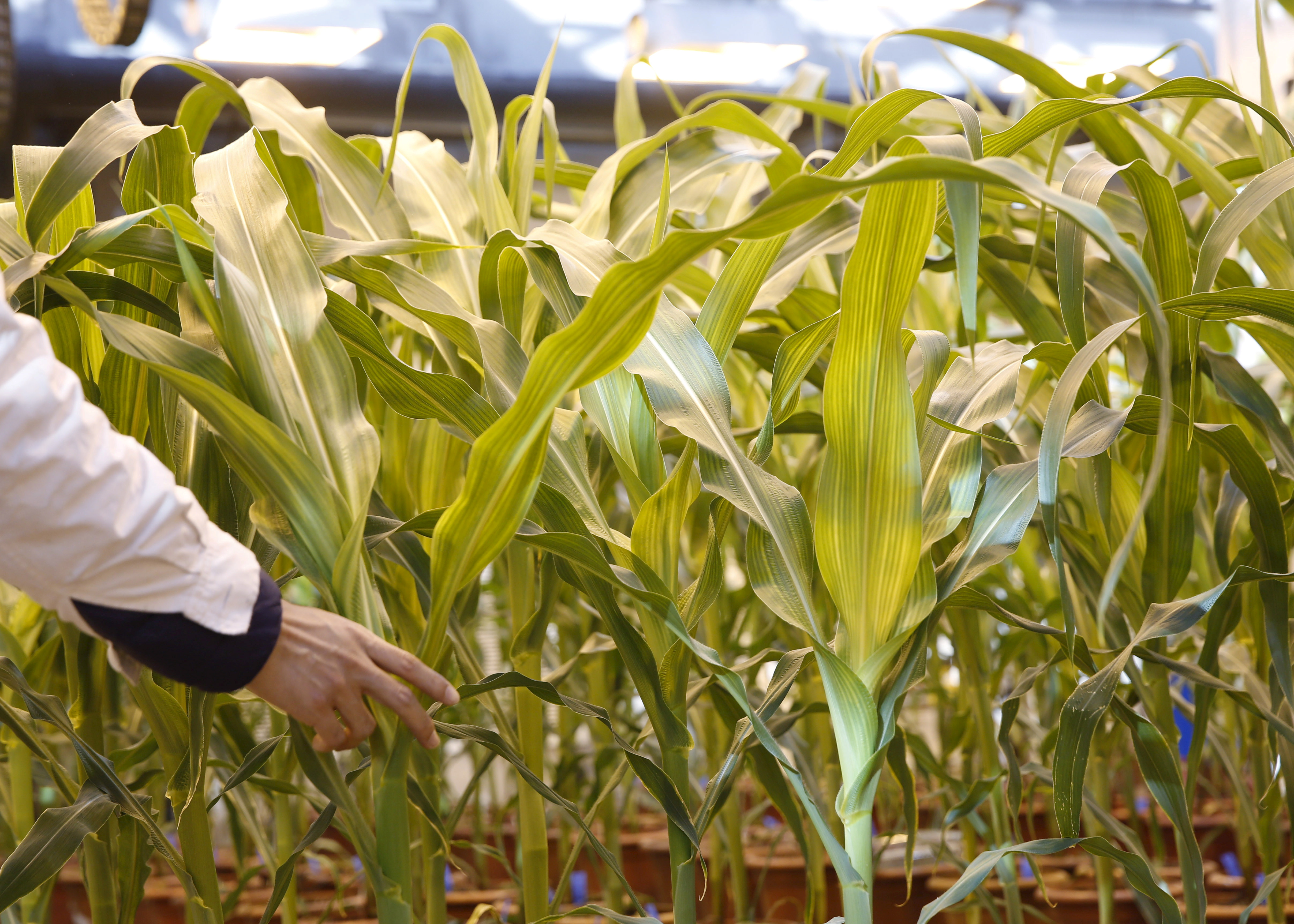 A researcher checks on corn plants in a green house cultivating natural corn and genetically modified corn in Syngenta Biotech Center in Beijing