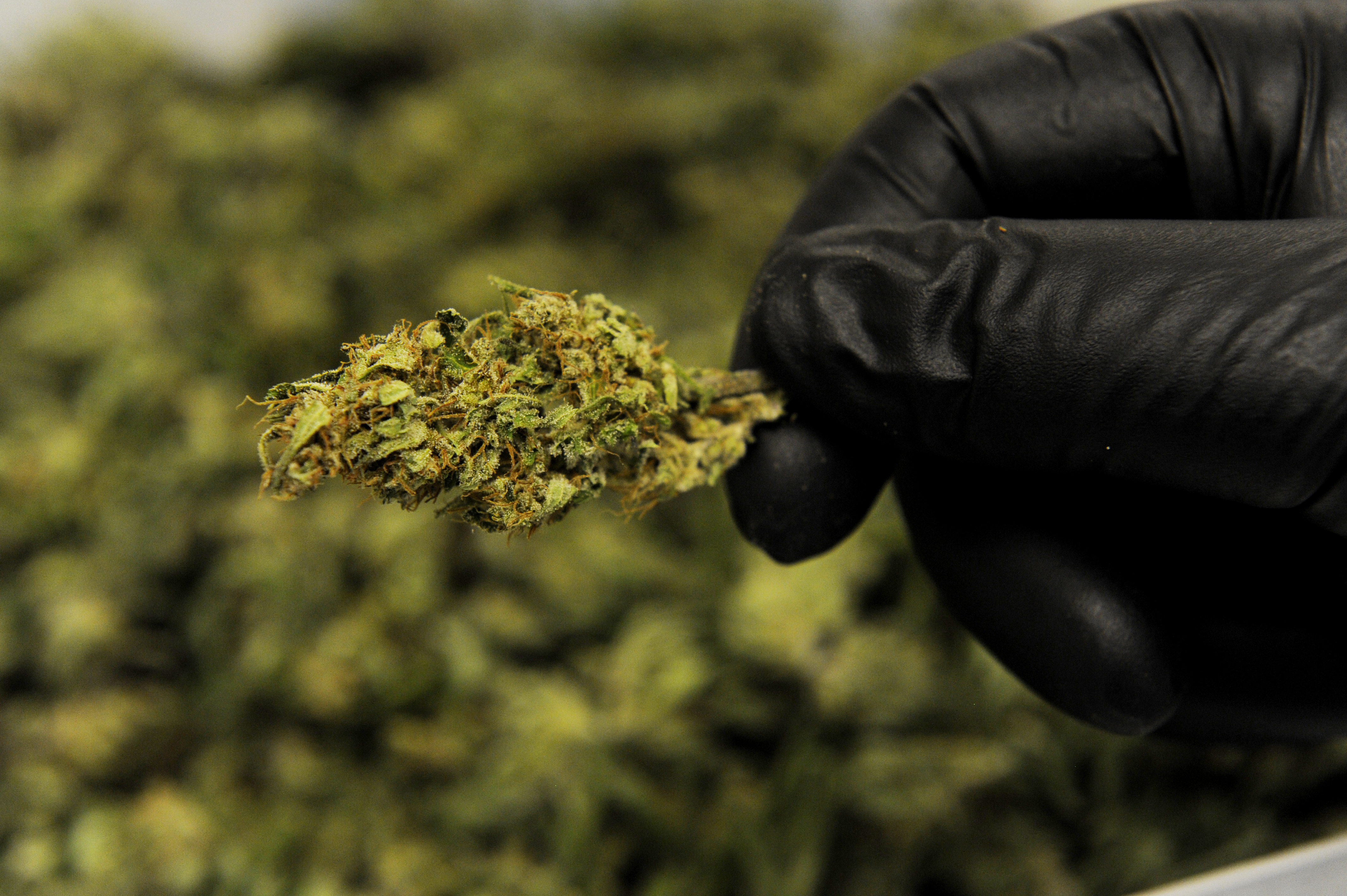 An employee displays trimmed bud from a High CBD hemp strain at Ambary Gardens in Colorado.