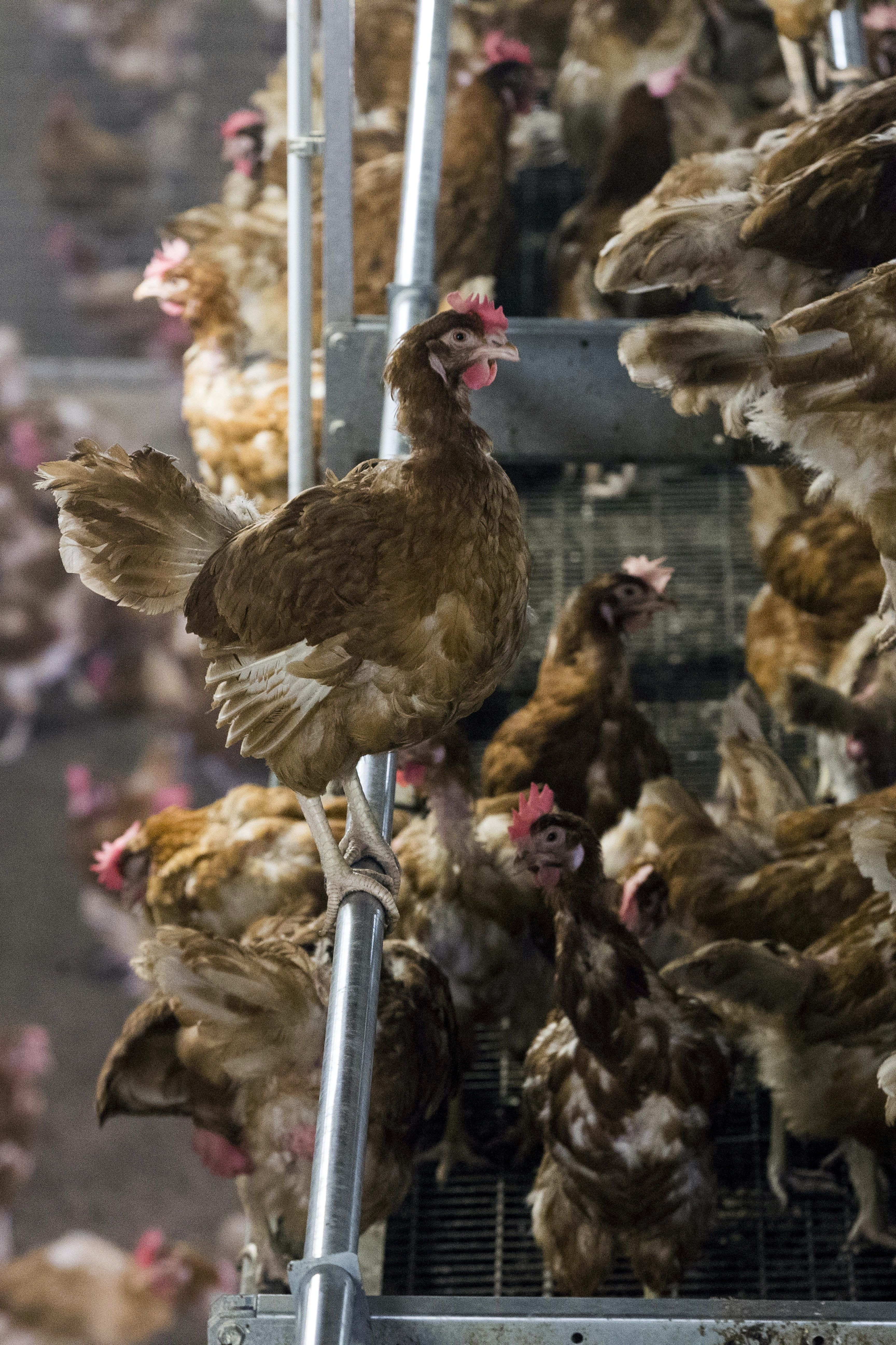 NETHERLANDS-ANIMALS-AGRICULTURE-HEALTH-BIRD-FLU