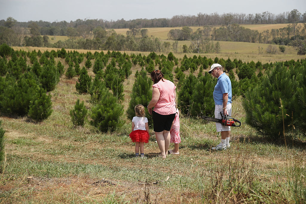 Sydneysiders Prepare For Holidays With Visit To Christmas Tree Farm