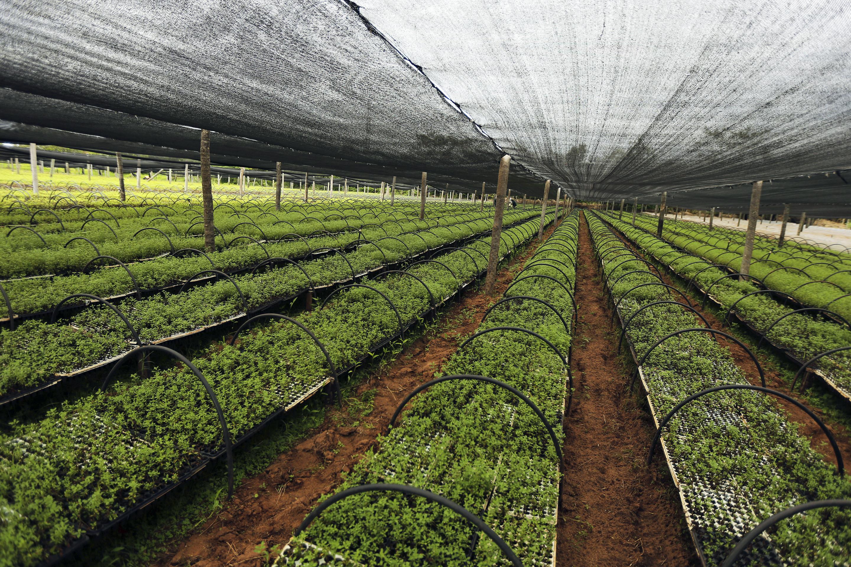 Stevia seedlings are seen at a plantation in Santani