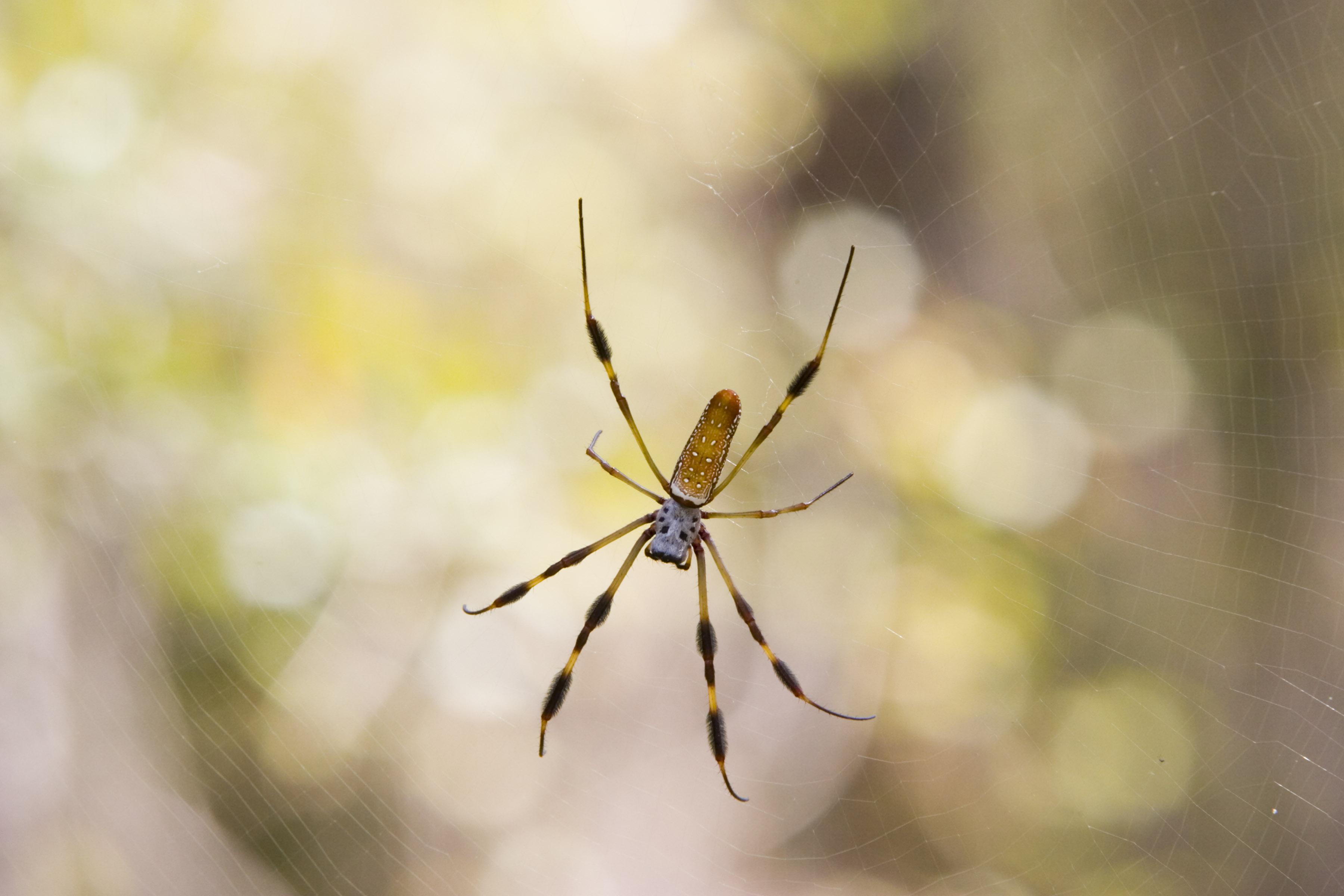 Golden Silk Spider on Her Web