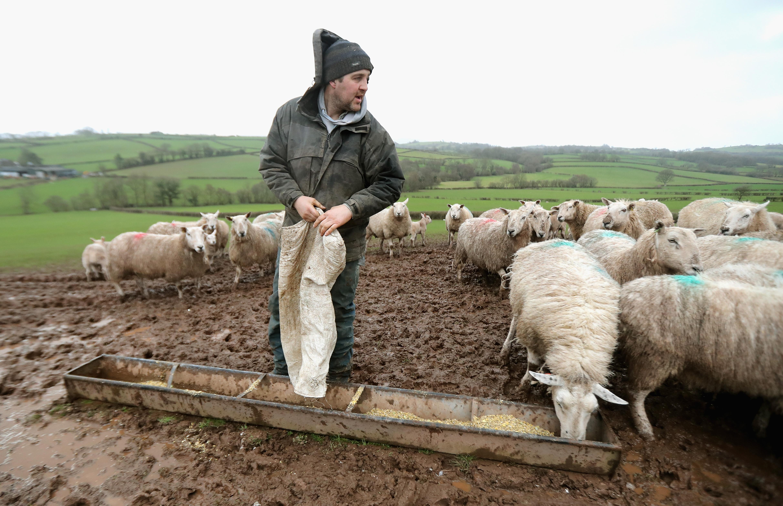 Spring Lambing Begins In Brecon